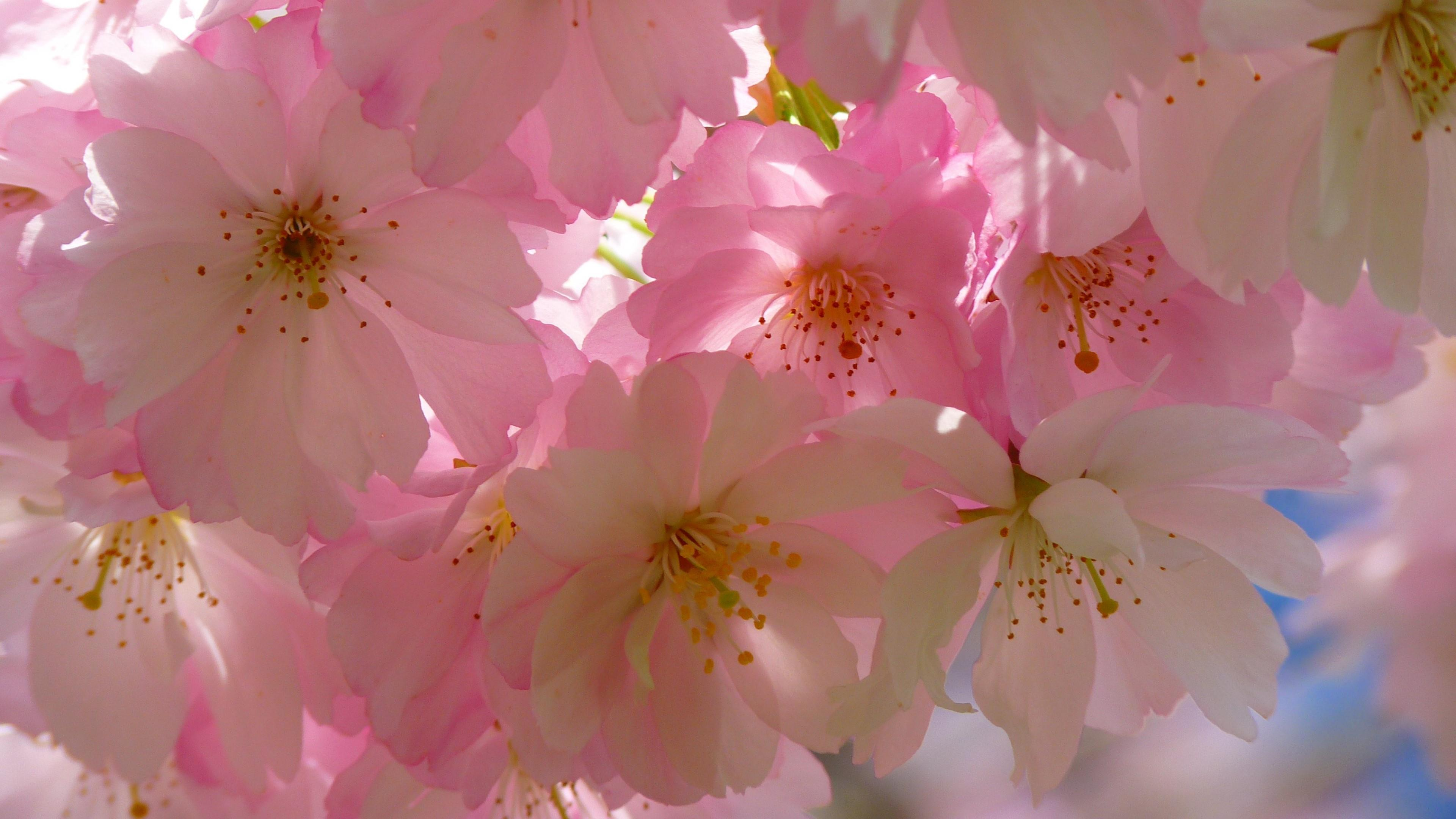 Cherry blossom at spring  wallpaper