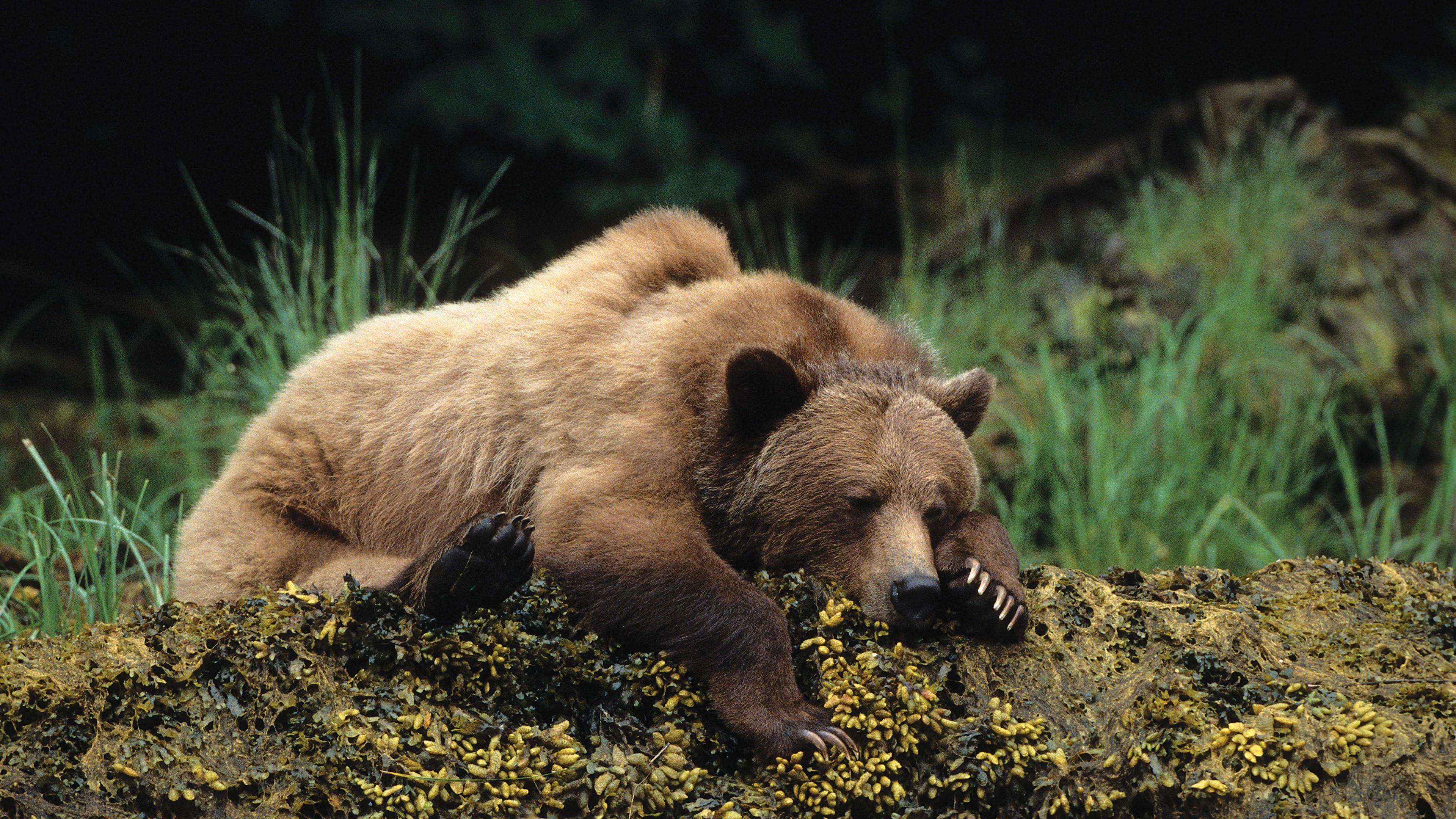 Sleeping brown bear  wallpaper
