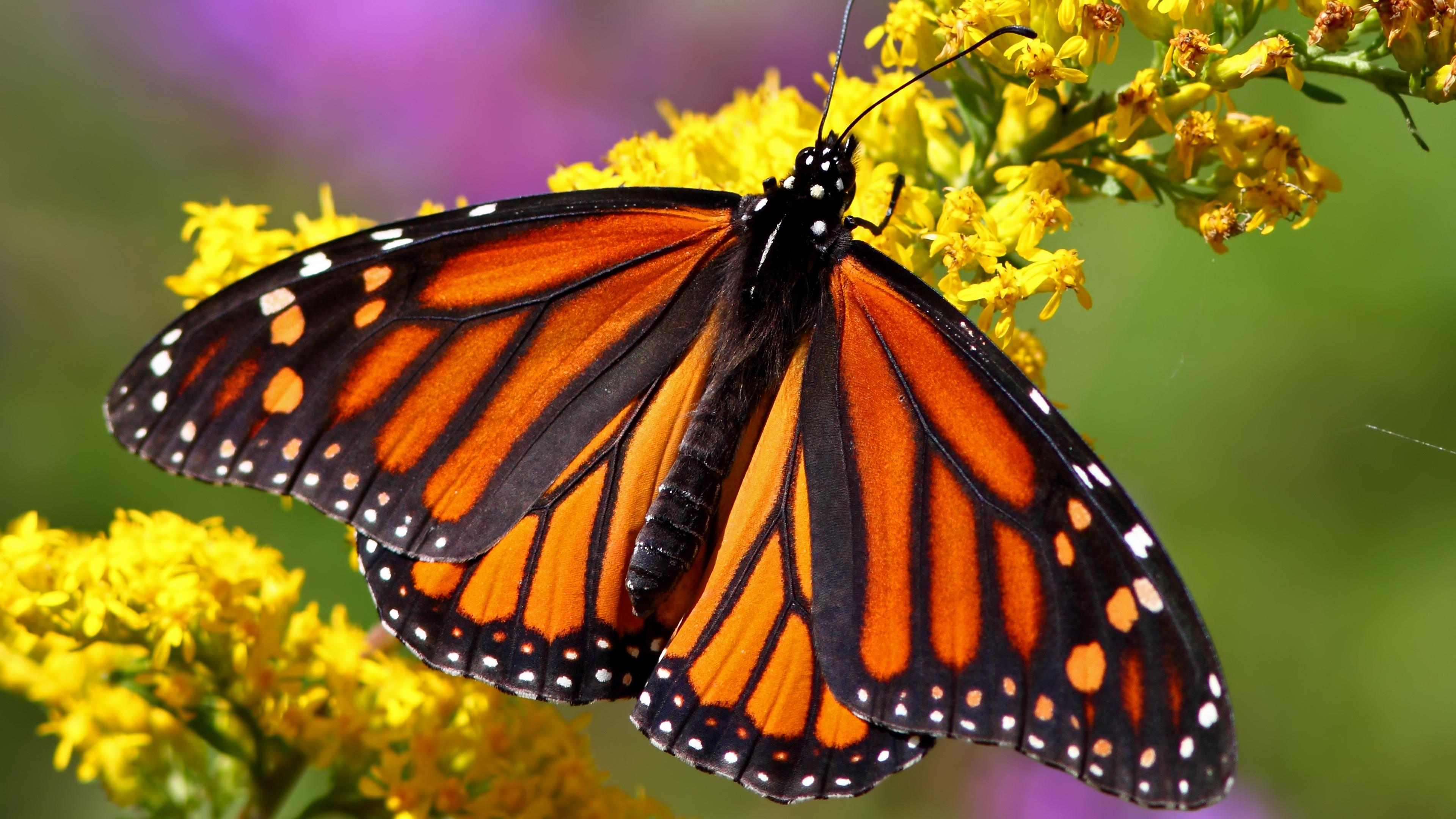 Monarch butterfly - Macro photography wallpaper