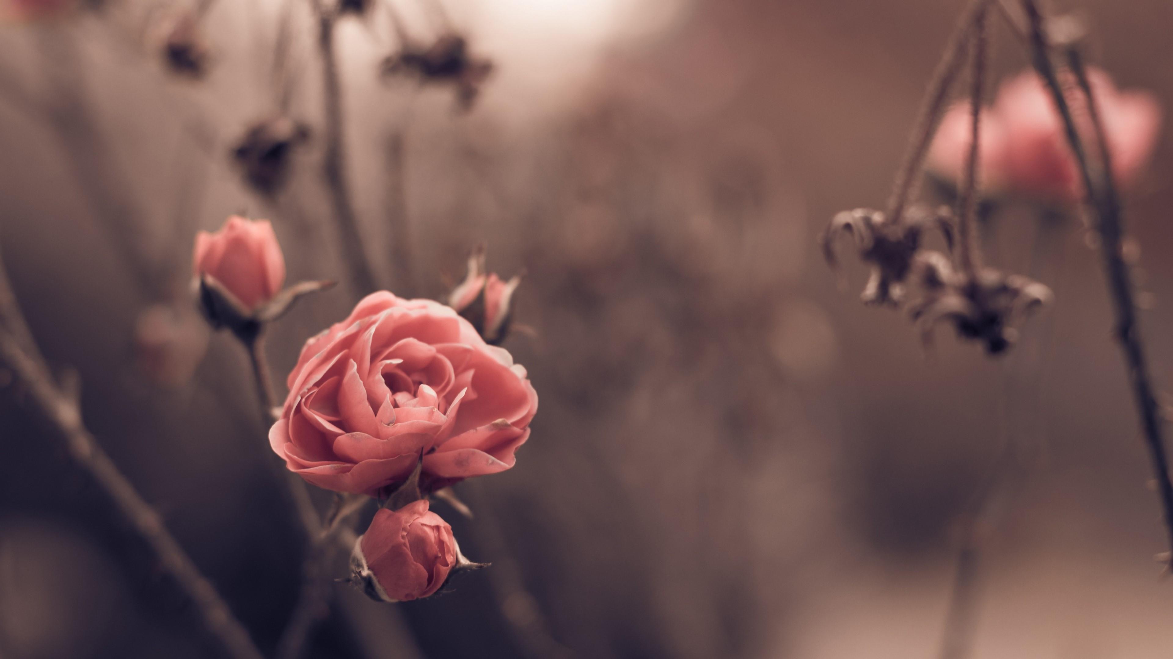 Pink roses in the autumn garden wallpaper