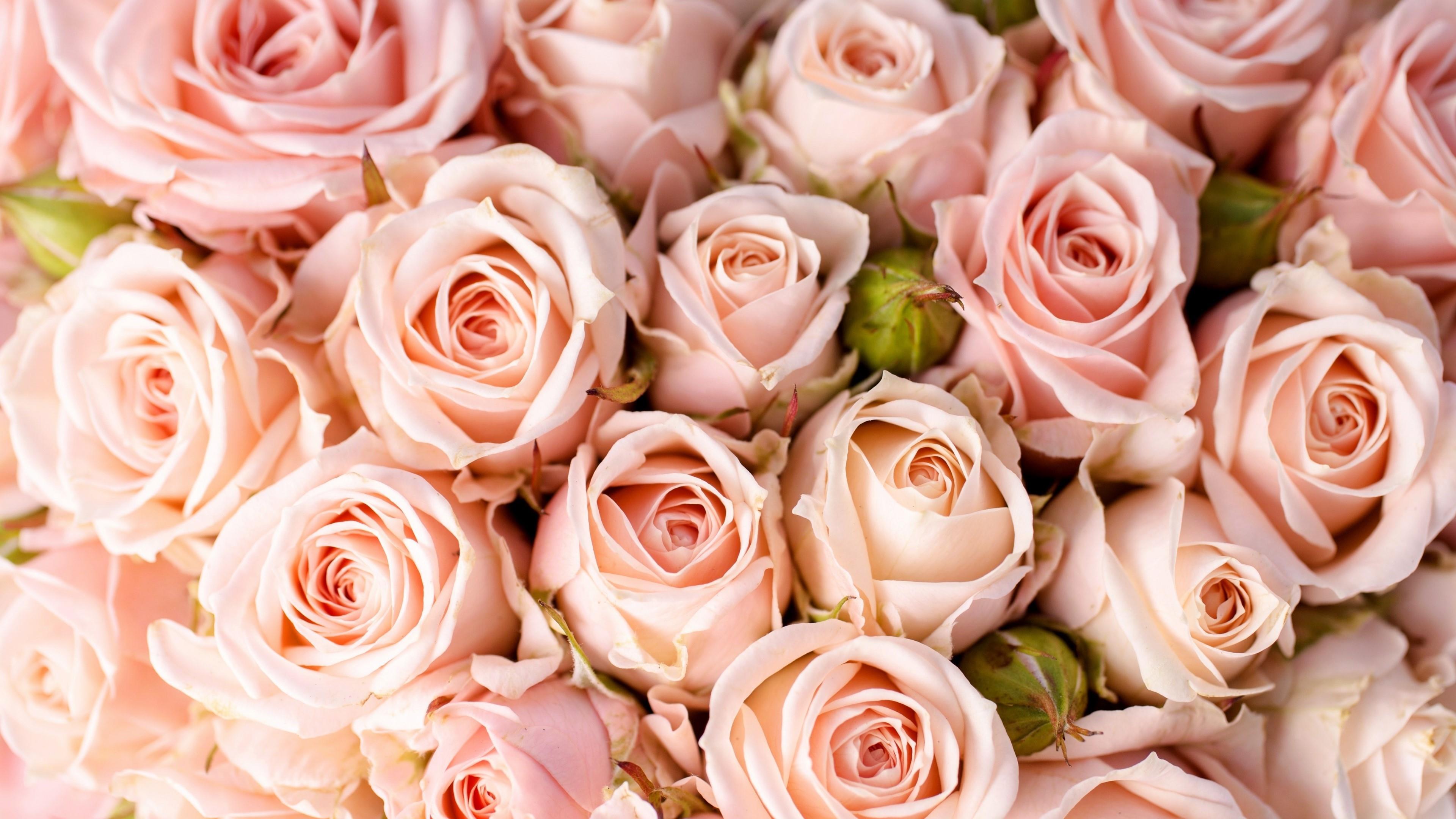 Pale pink rose wallpaper