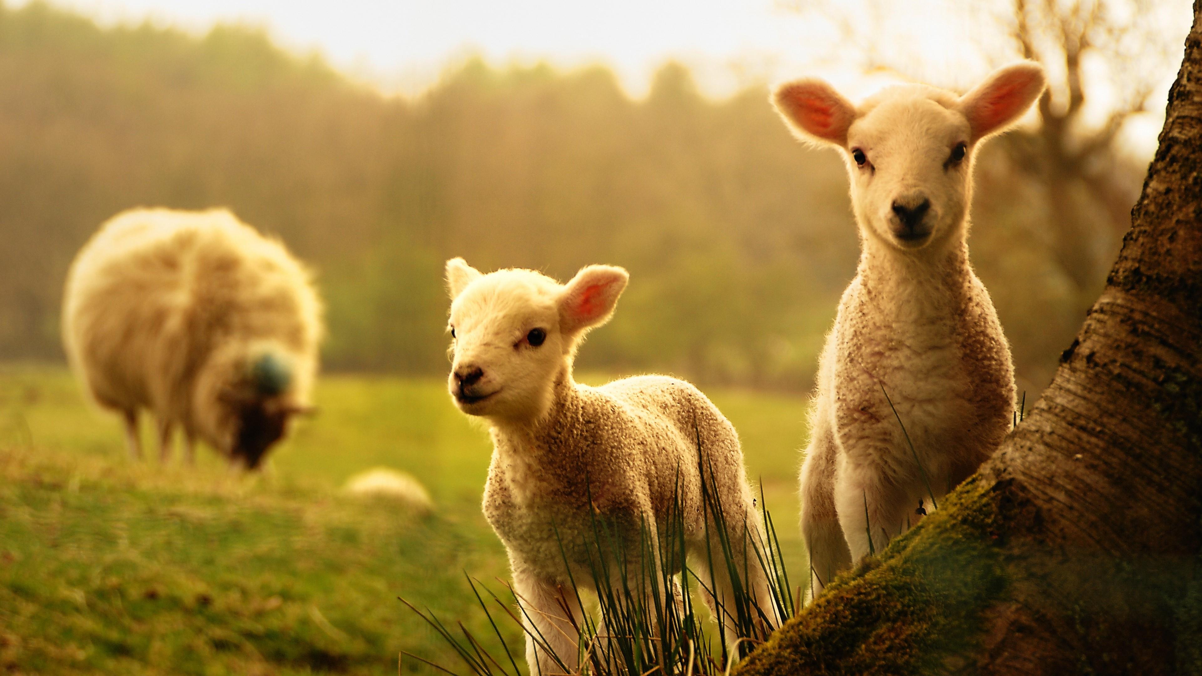 Cute baby sheep wallpaper