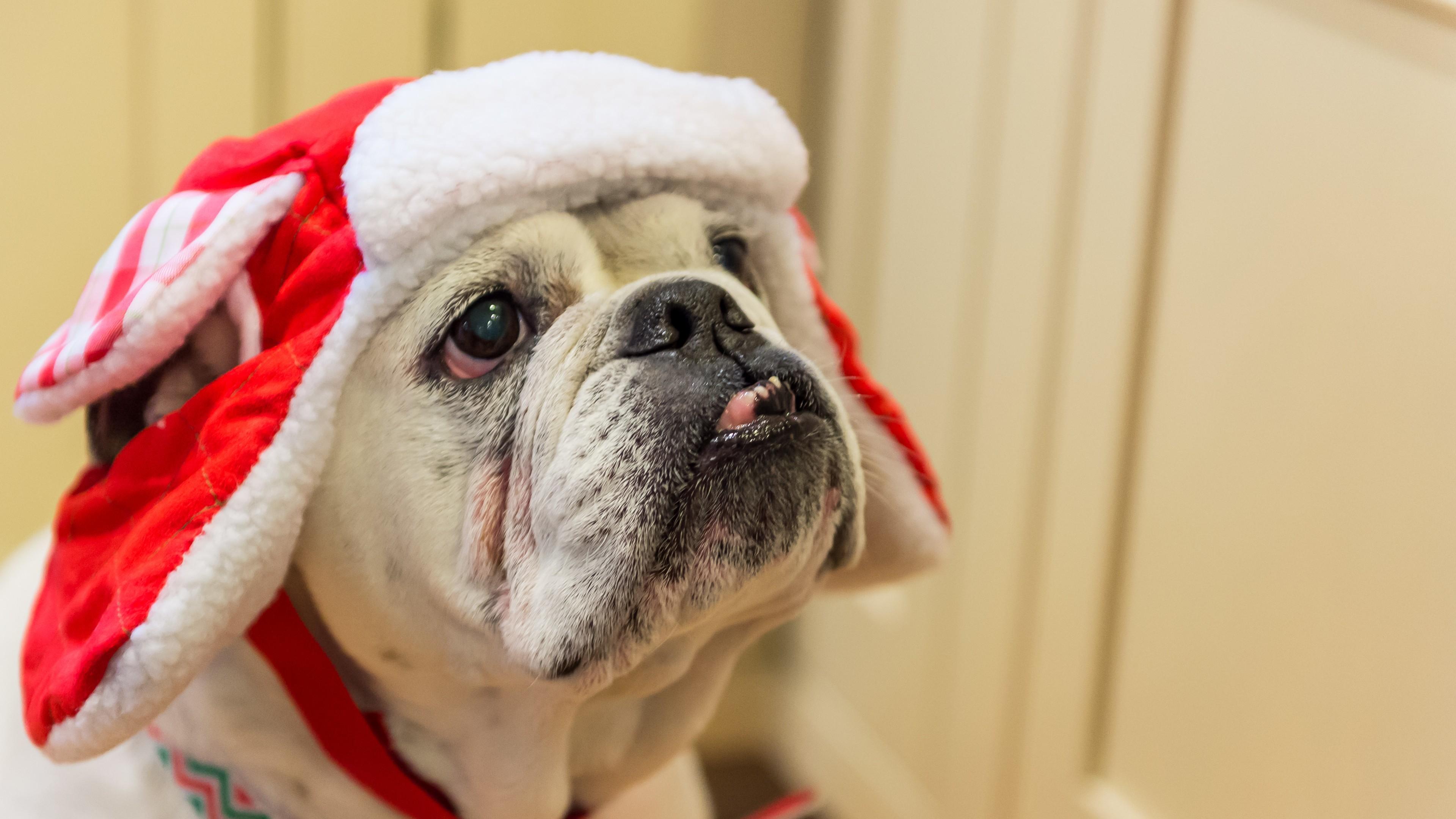 Bulldog in hat wallpaper