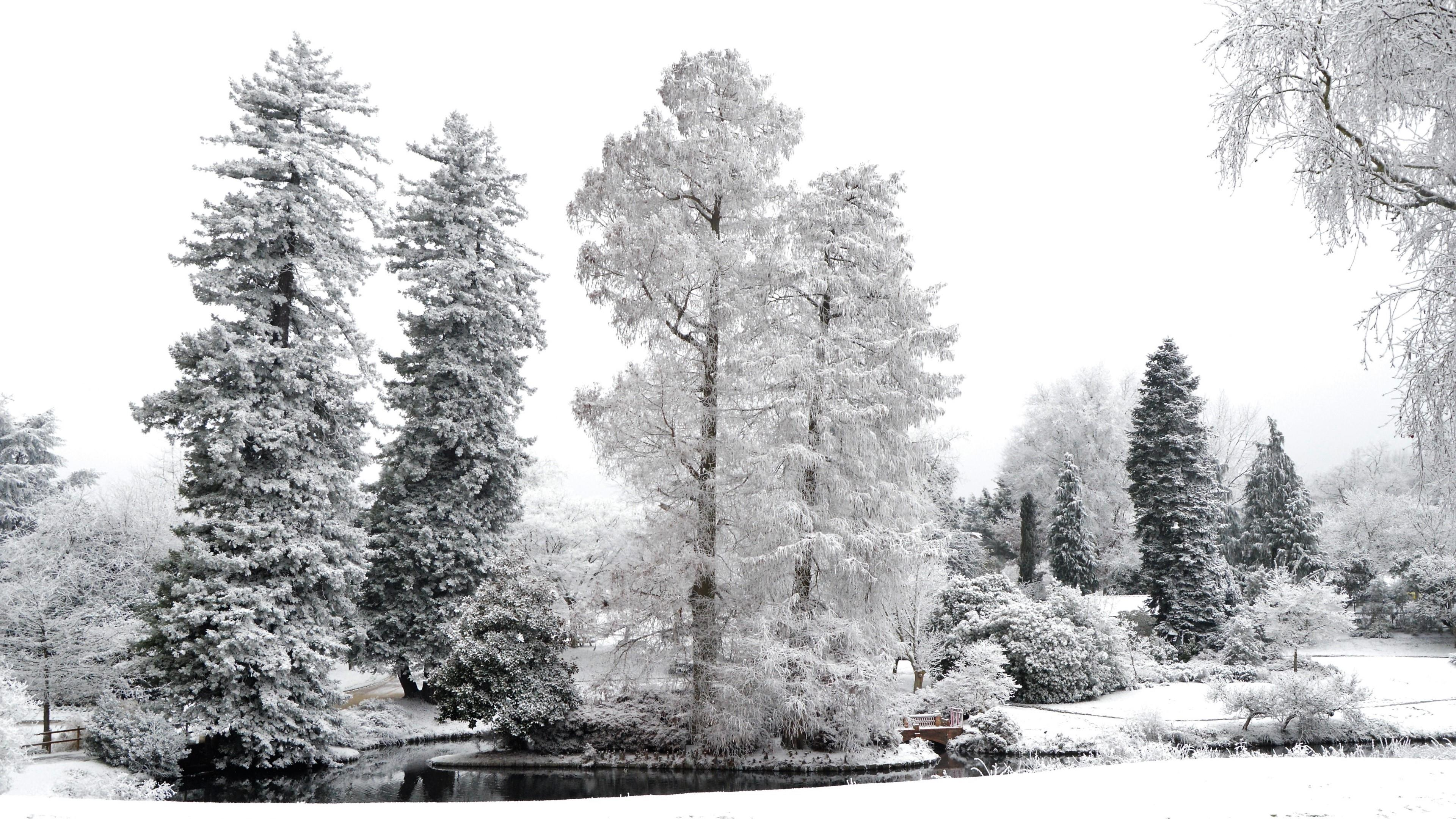 Evergreens in winter - Monochrome photography wallpaper
