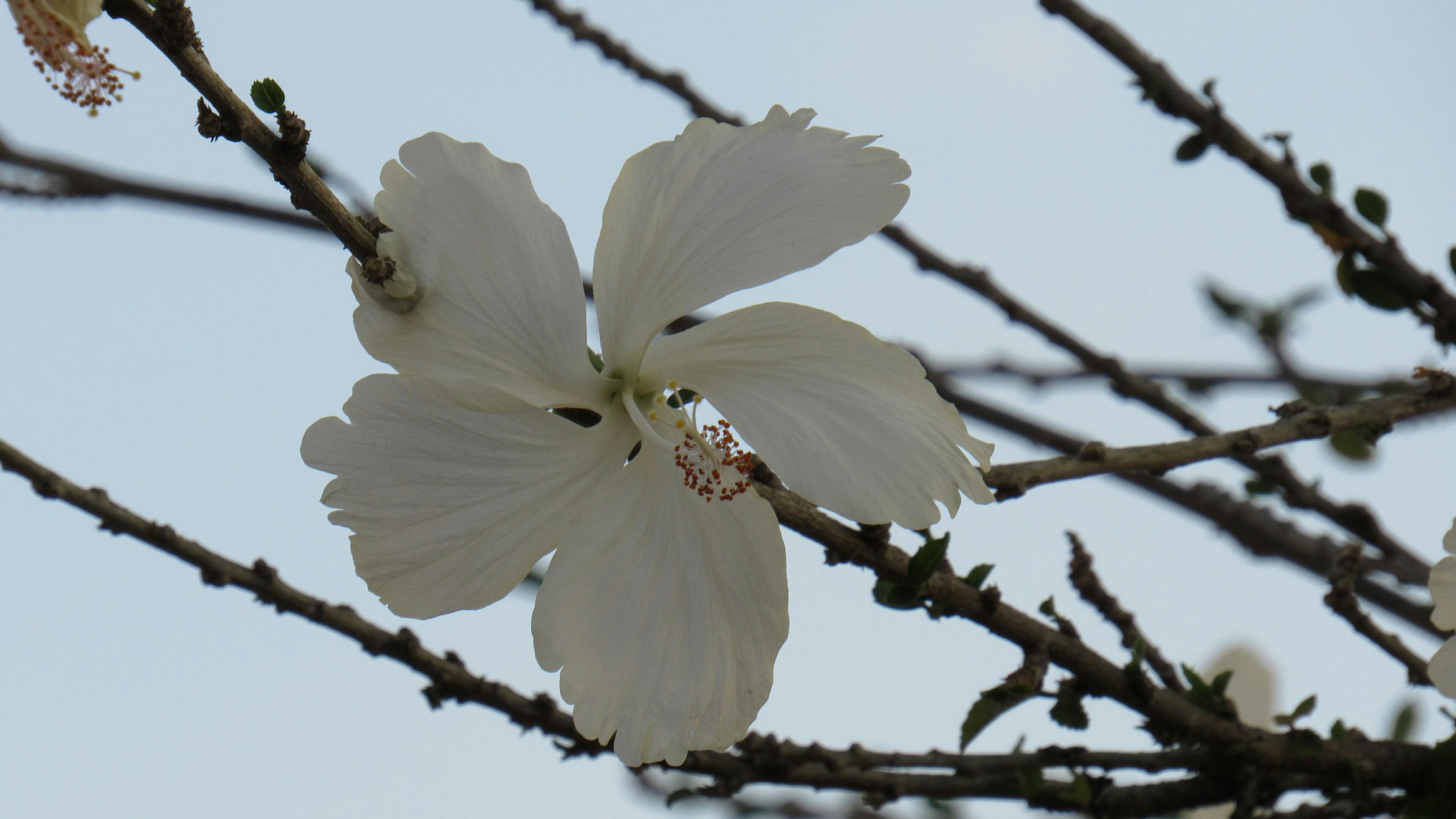 White hibiscus wallpaper