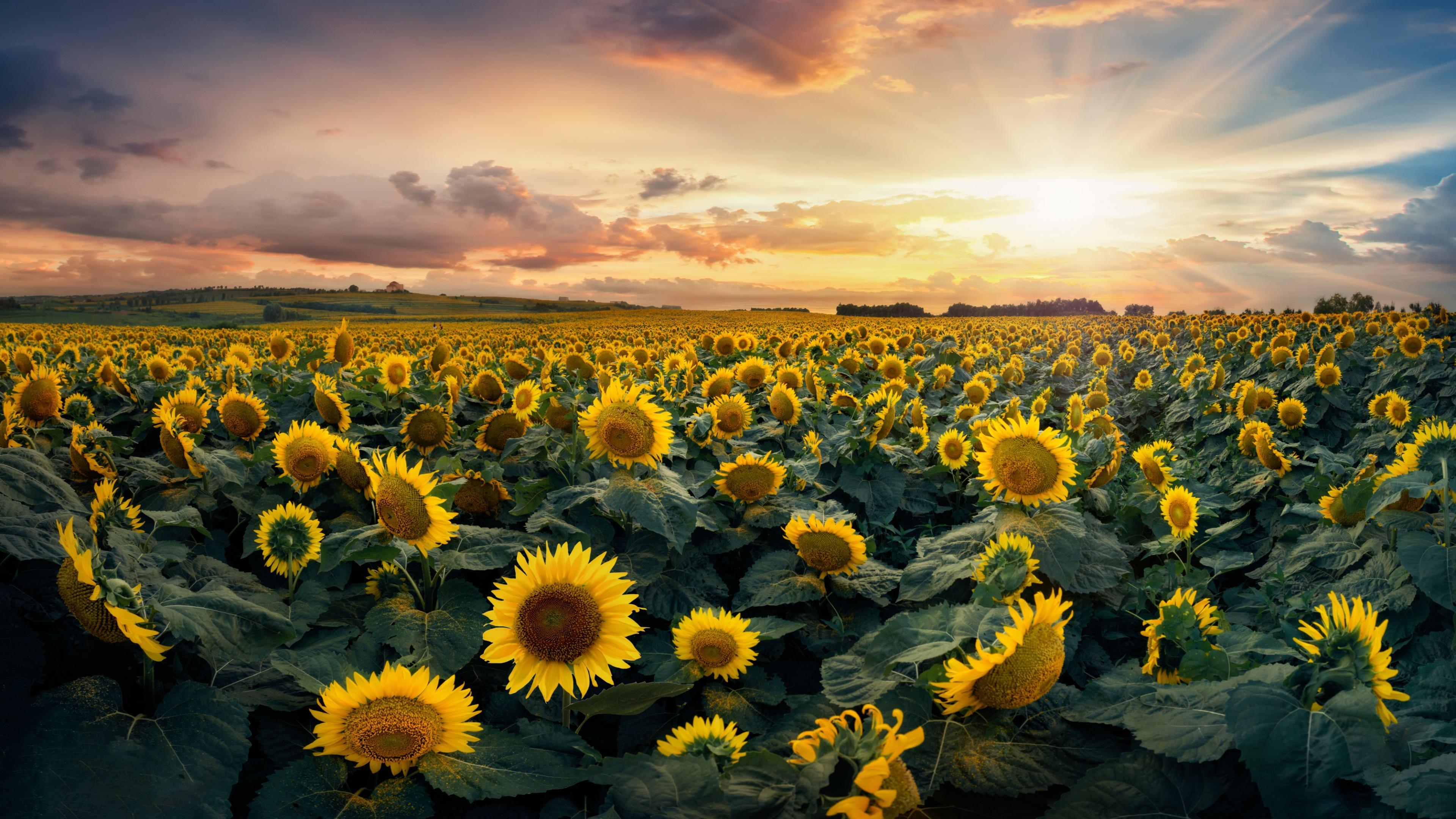 Sunflower sea wallpaper