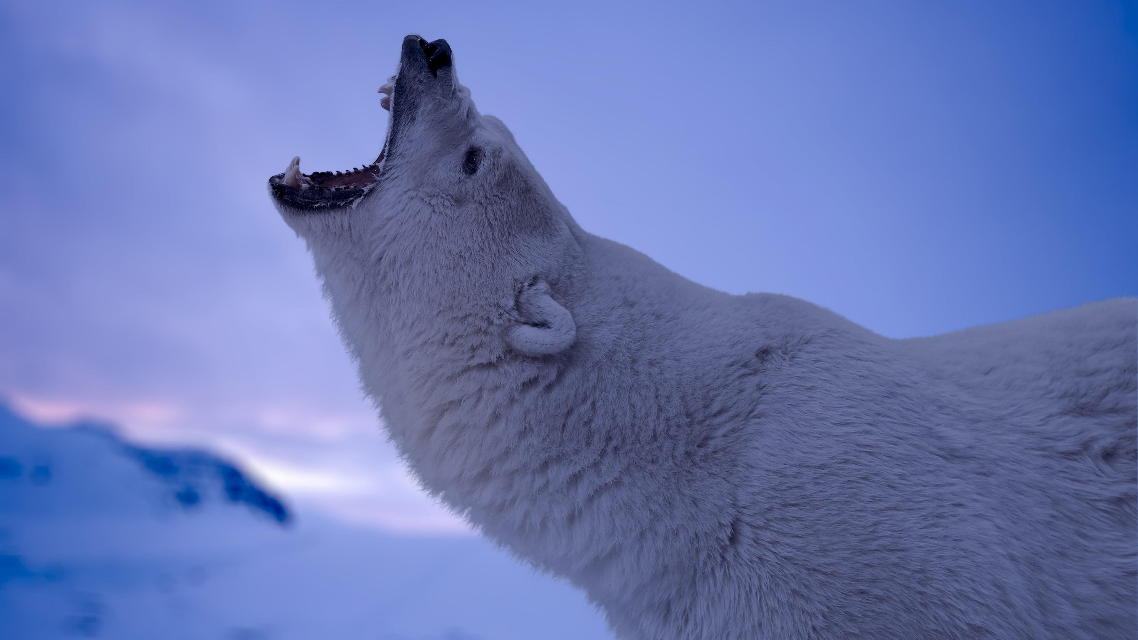 Polar bear roar wallpaper