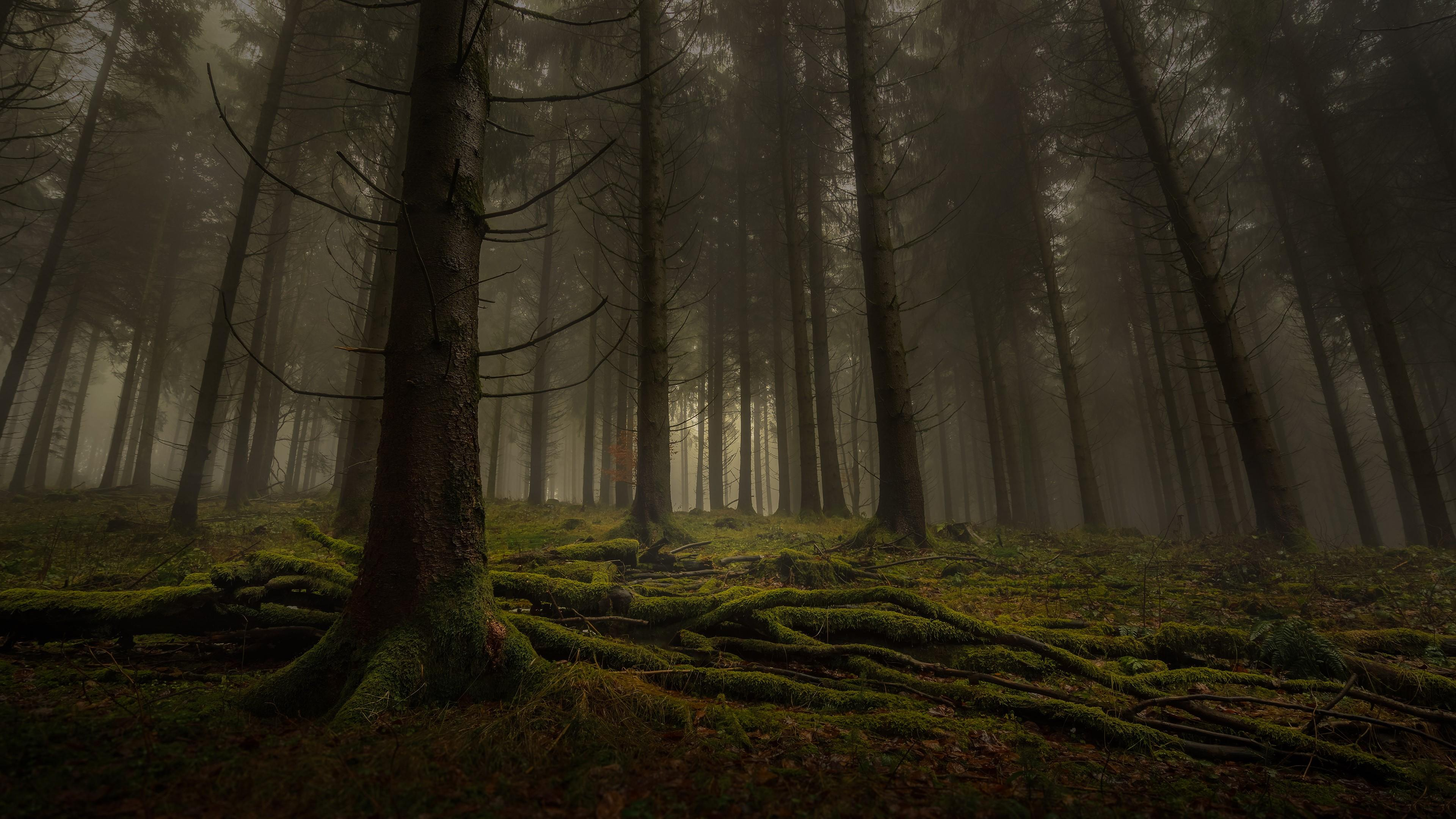 Mossy roots in misty forest wallpaper
