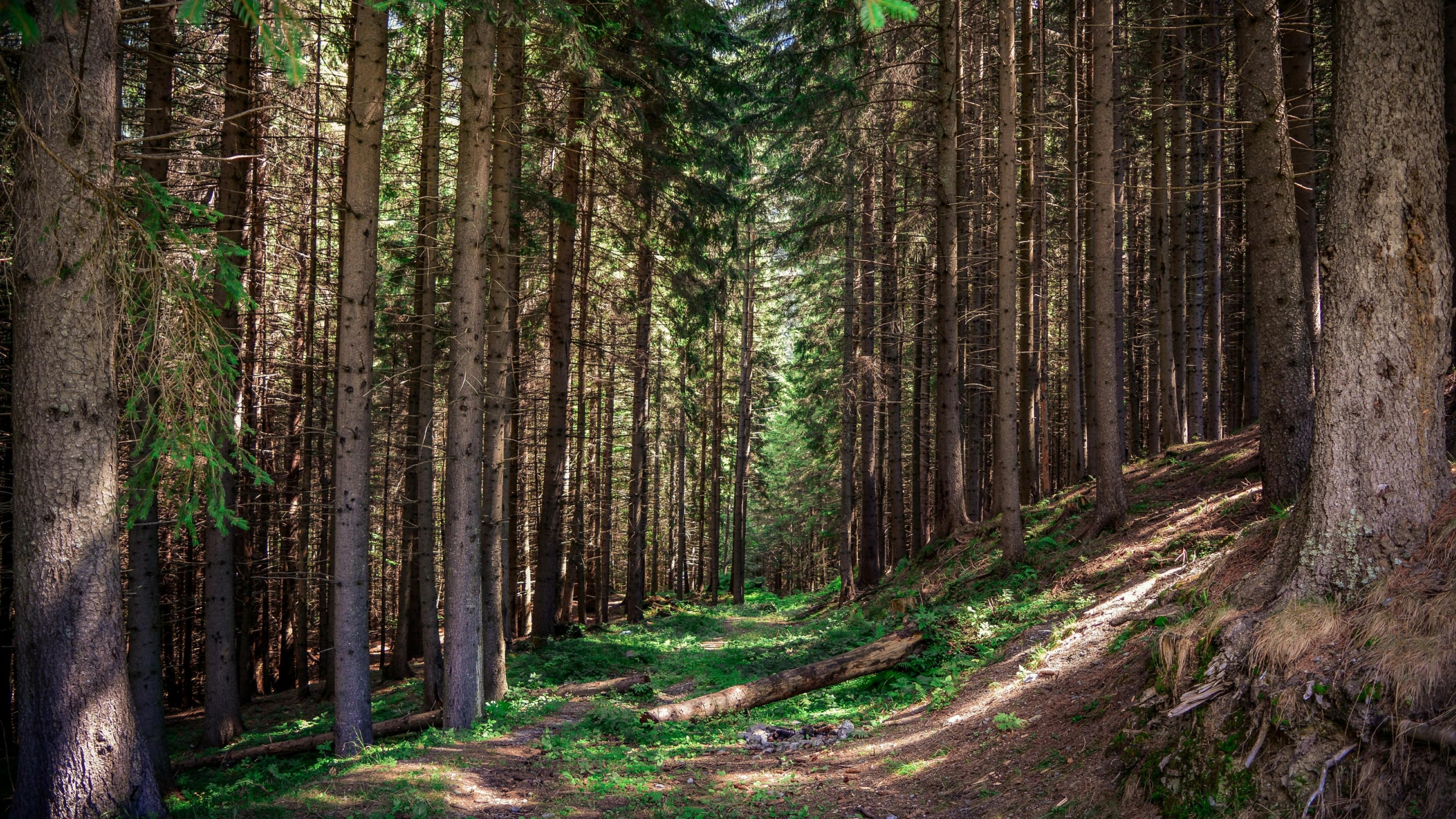 Evergreen forest path wallpaper