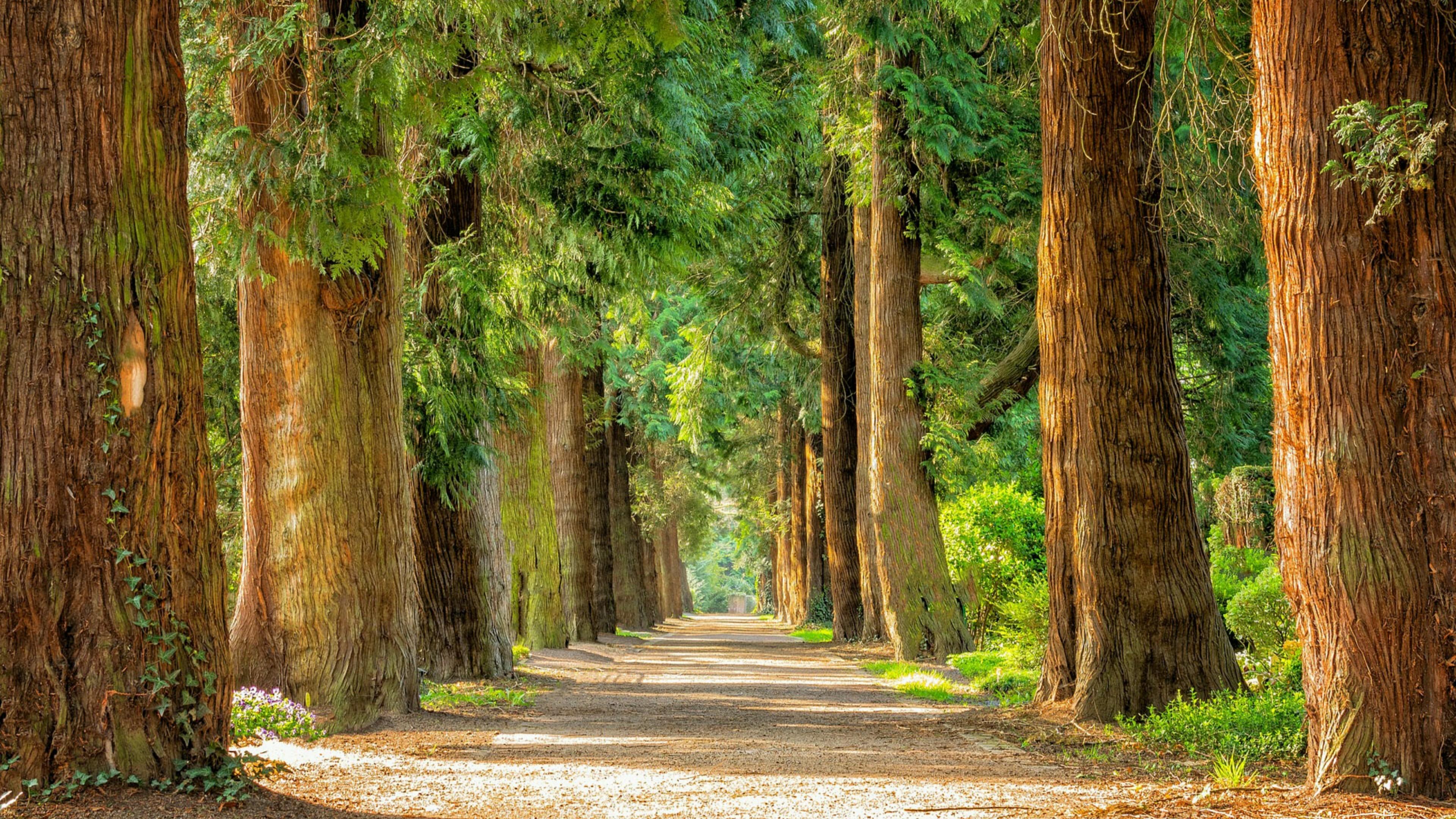Tree lane wallpaper