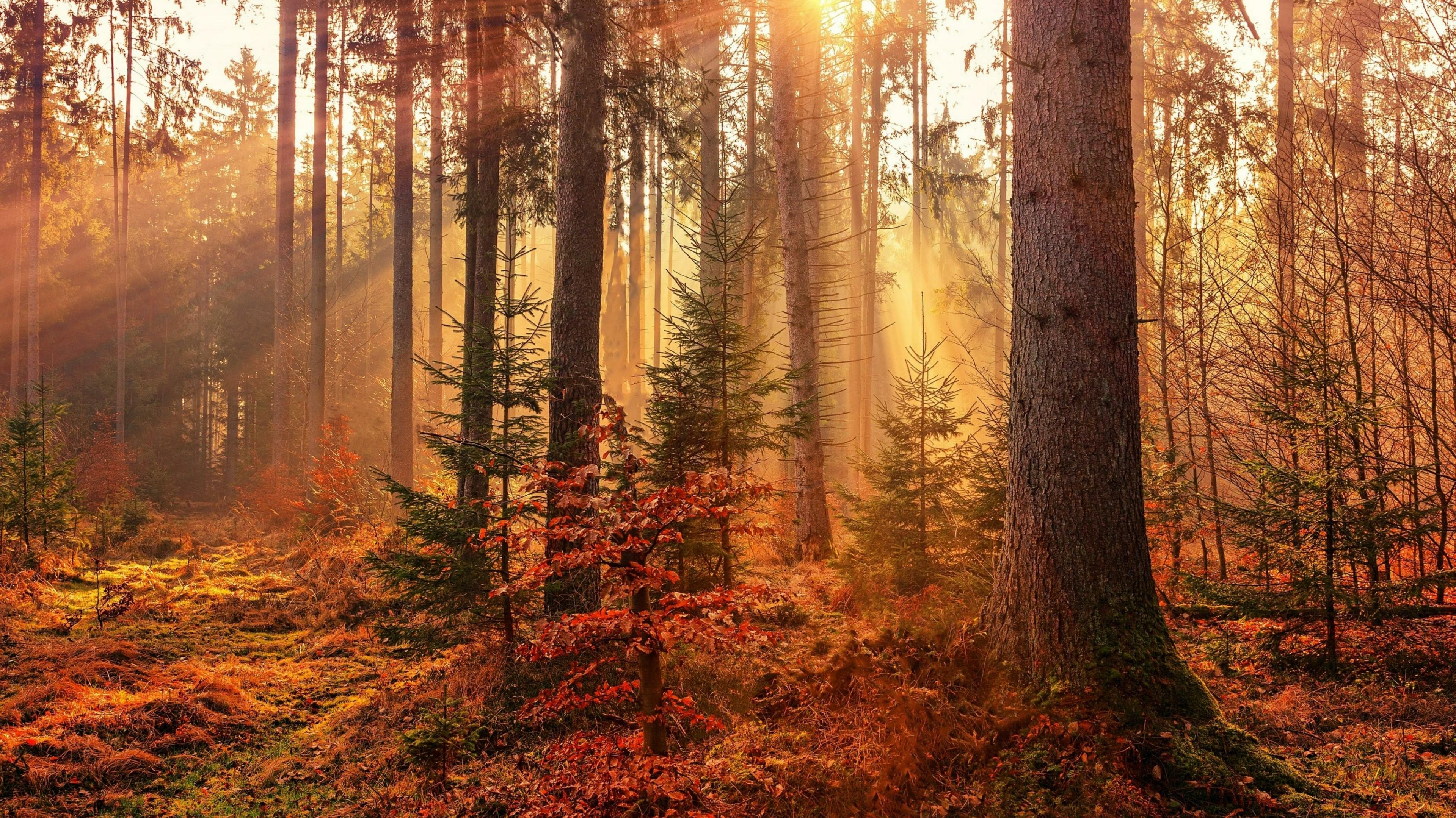 Fall forest sun rays wallpaper