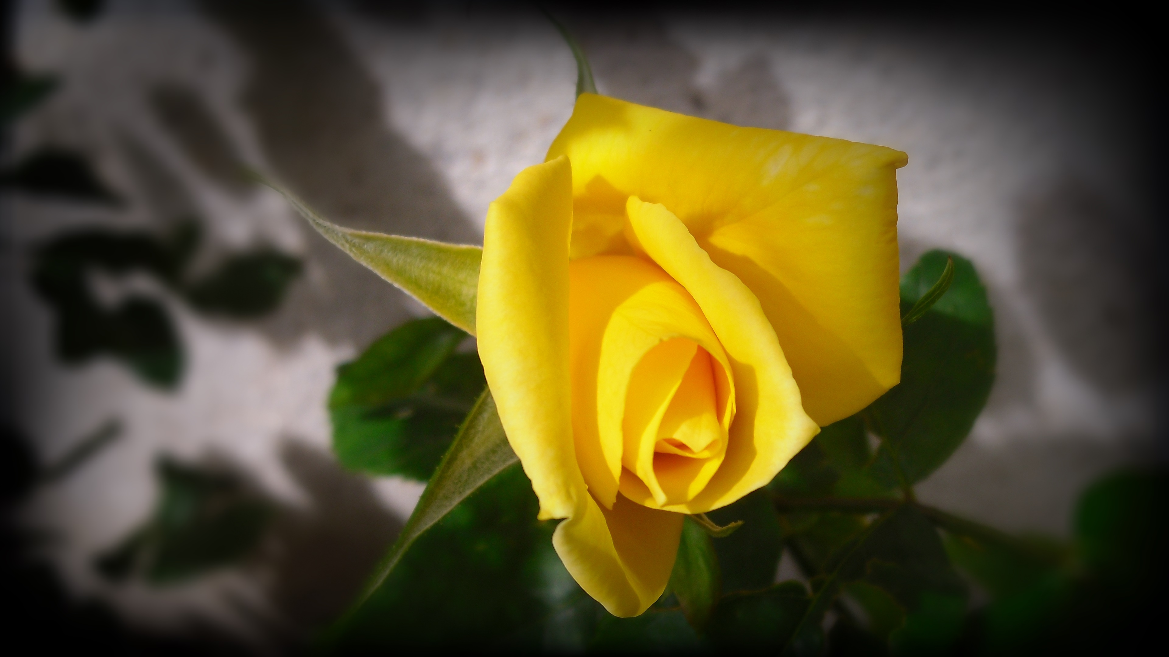 Yellow rose in my little garden wallpaper