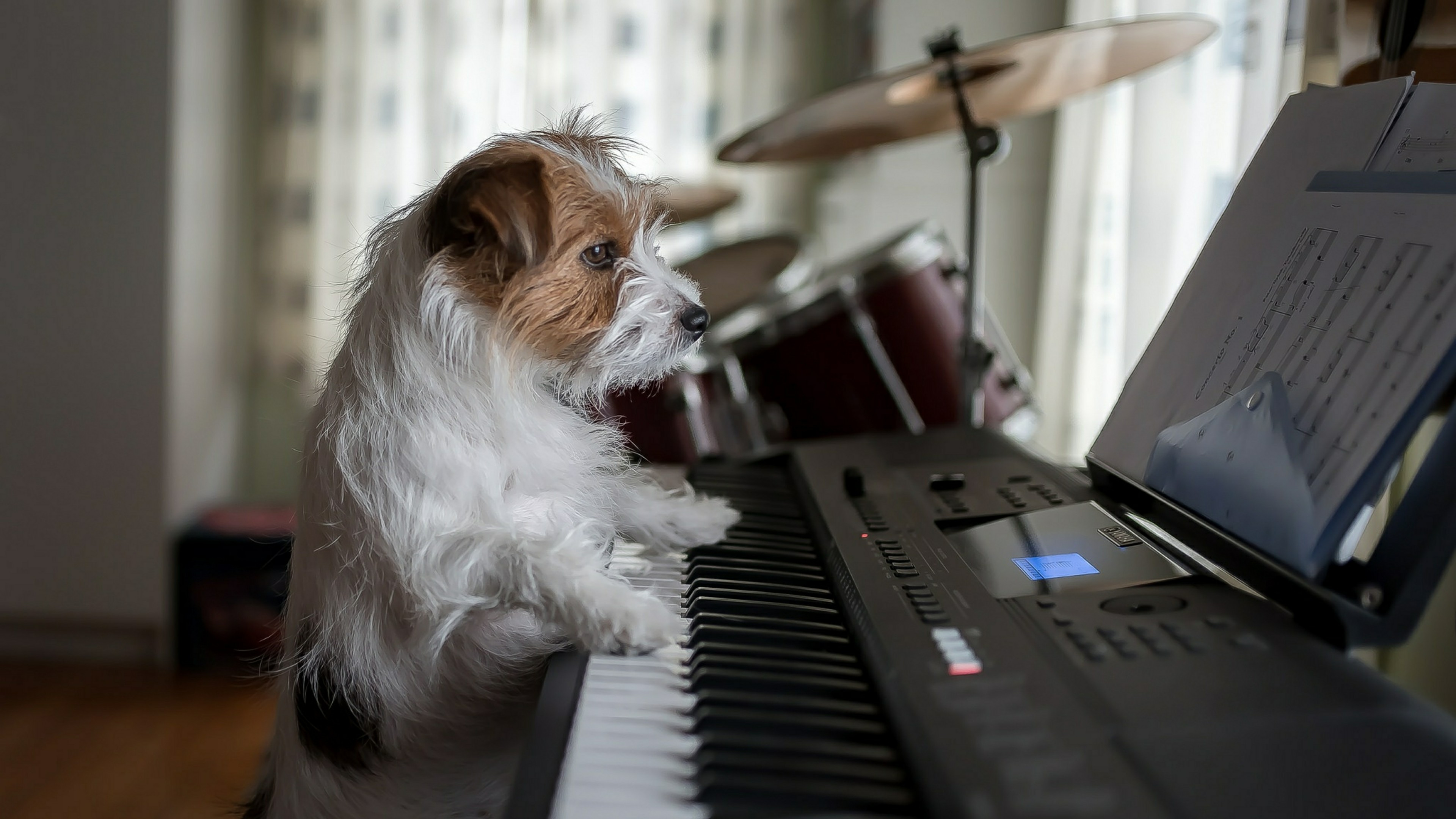 Pianist Jack Russell Terrier wallpaper