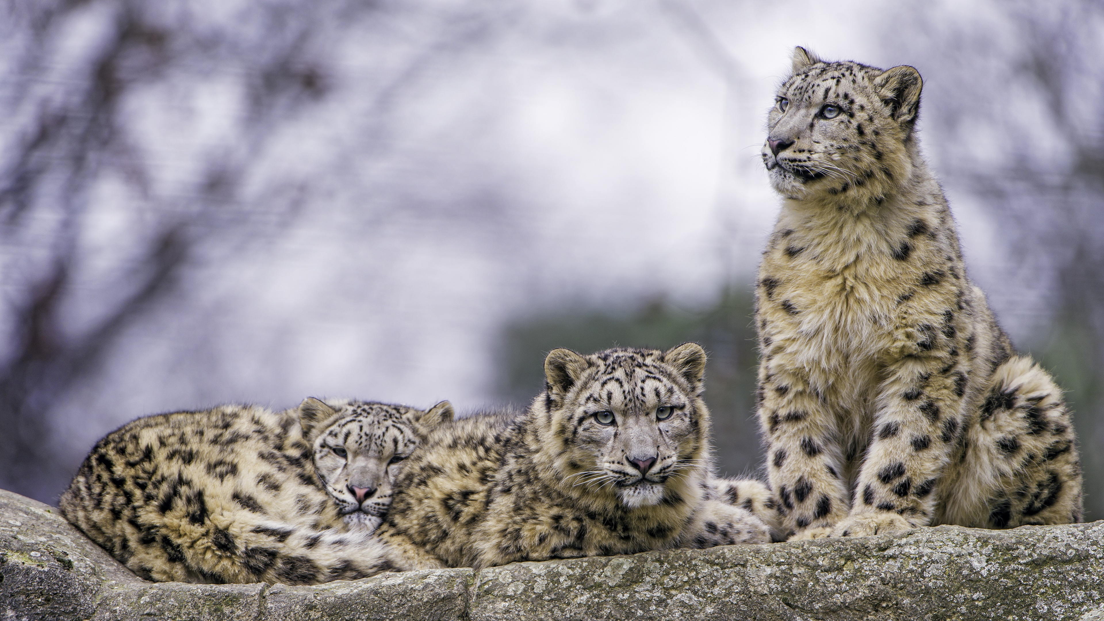 Resting snow leopard family wallpaper
