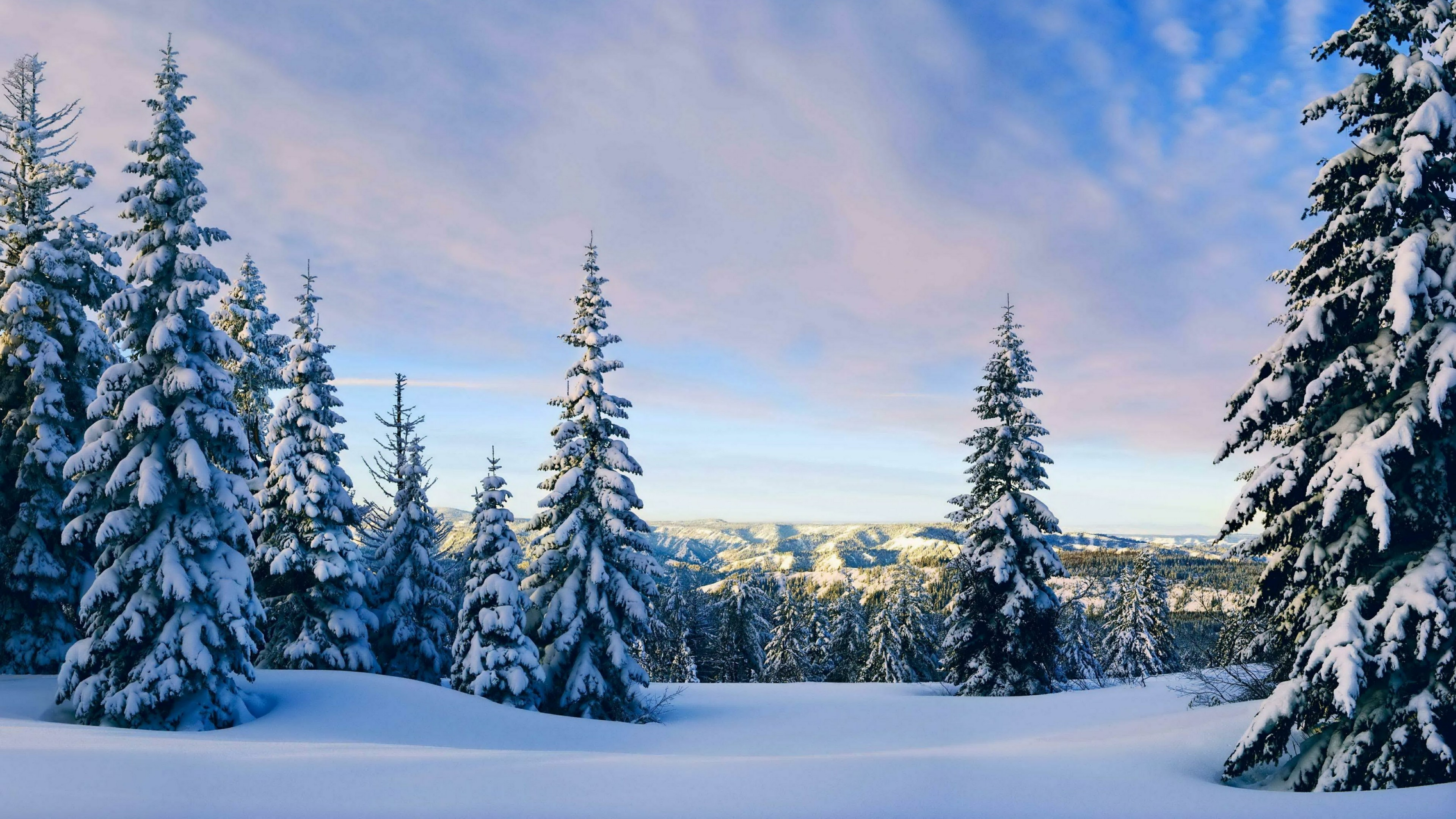 Snowy pine trees wallpaper