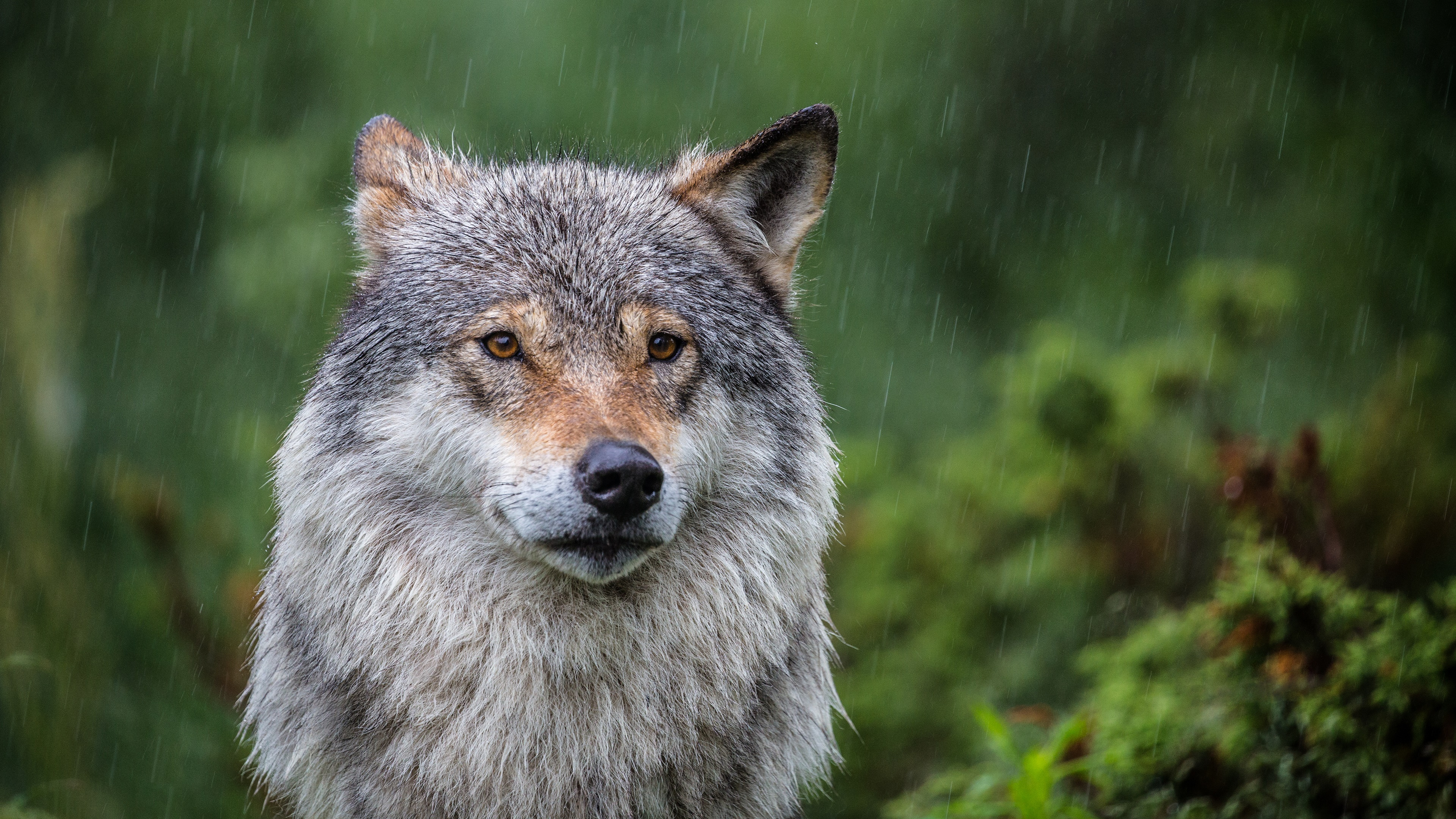 Wolf in the rain wallpaper