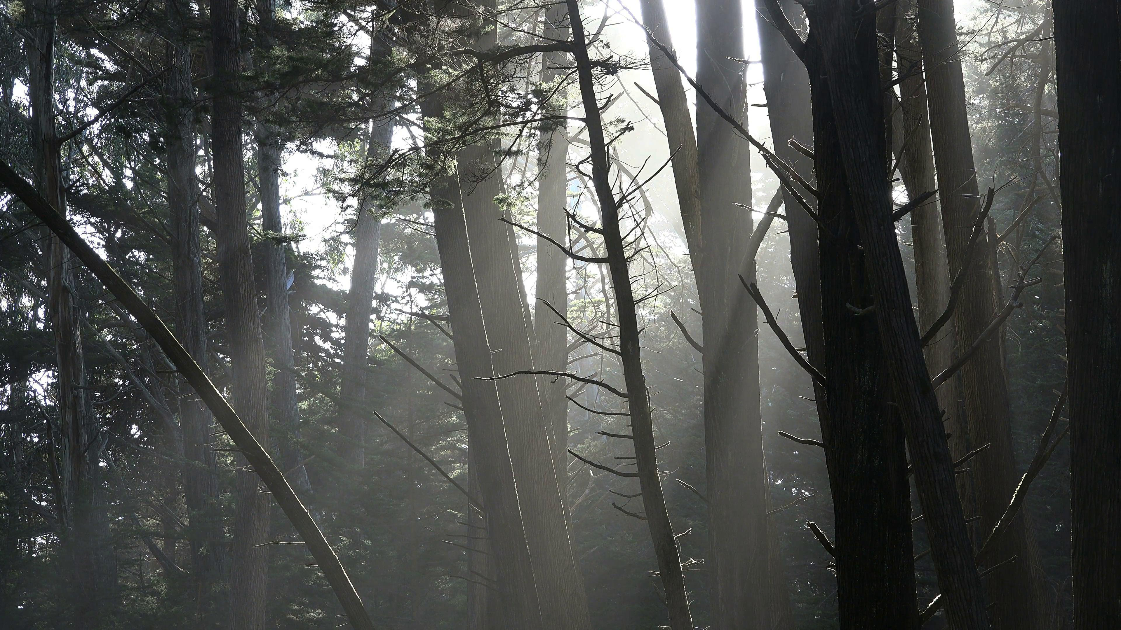 Sunbeams in the Fort Ross forest wallpaper