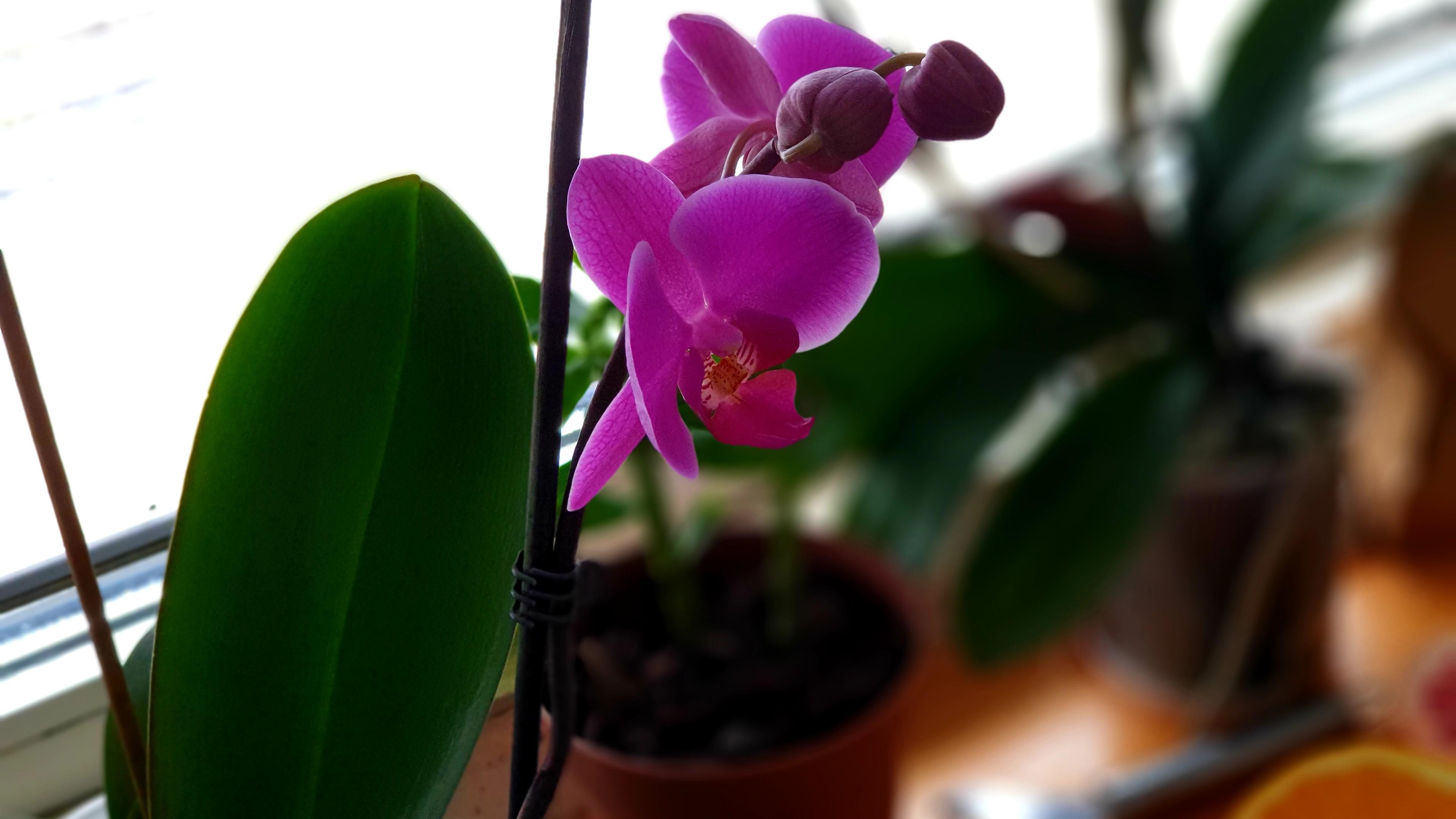 Orchid wallpaper