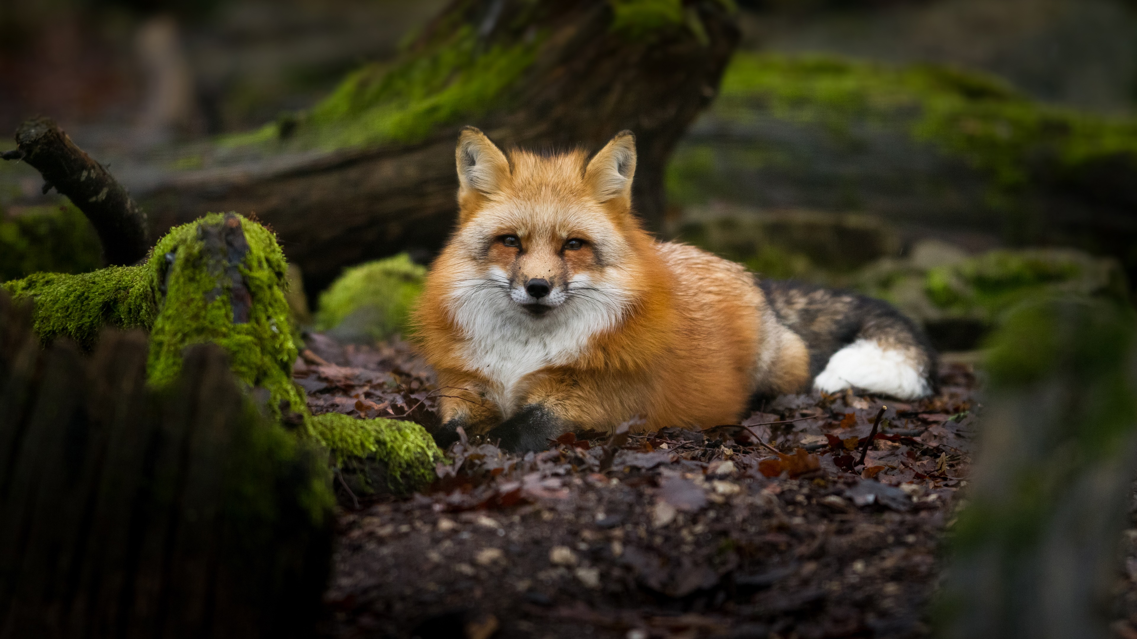 Red fox in mossy forest wallpaper