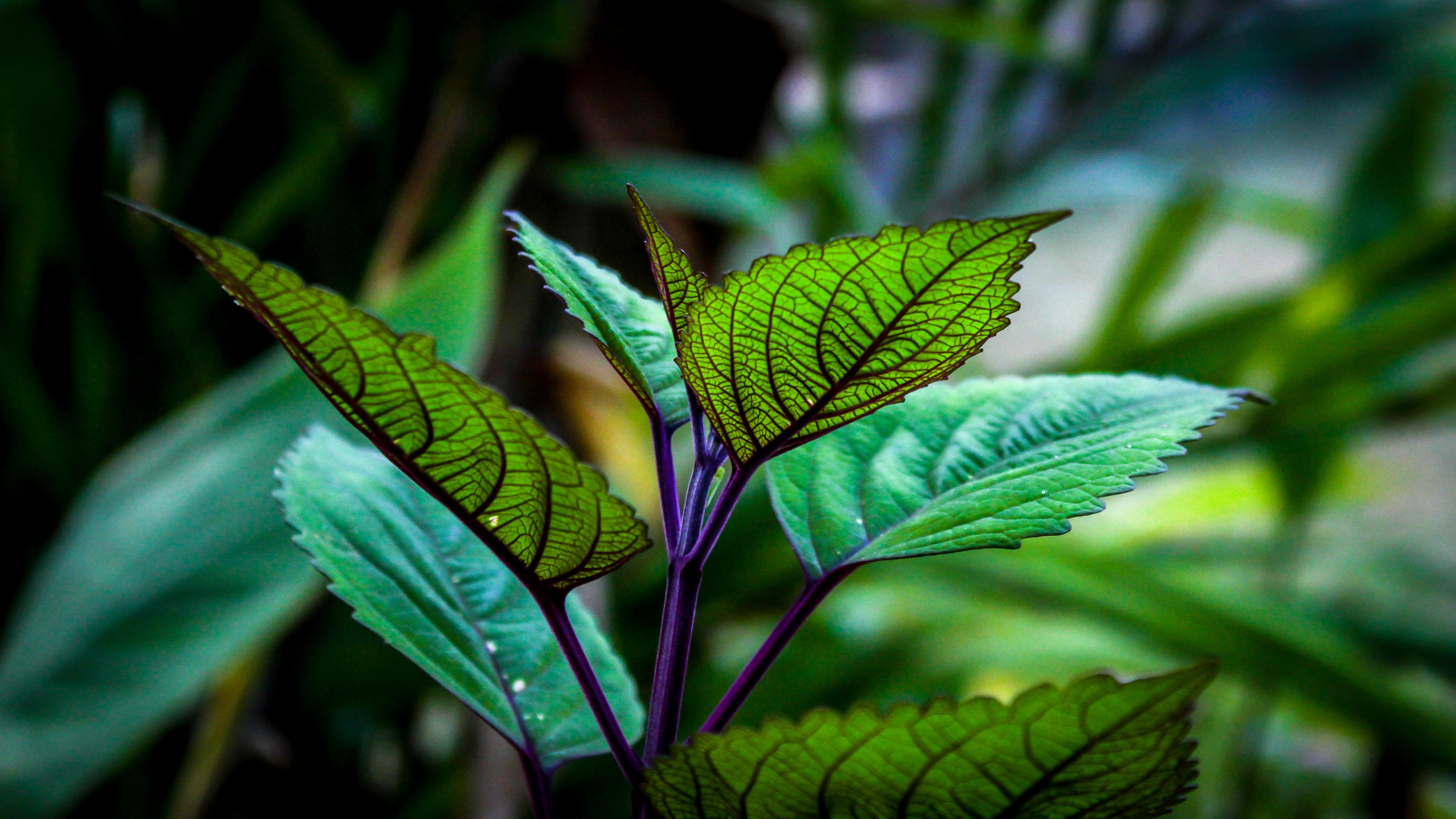 Coleus Leaves wallpaper