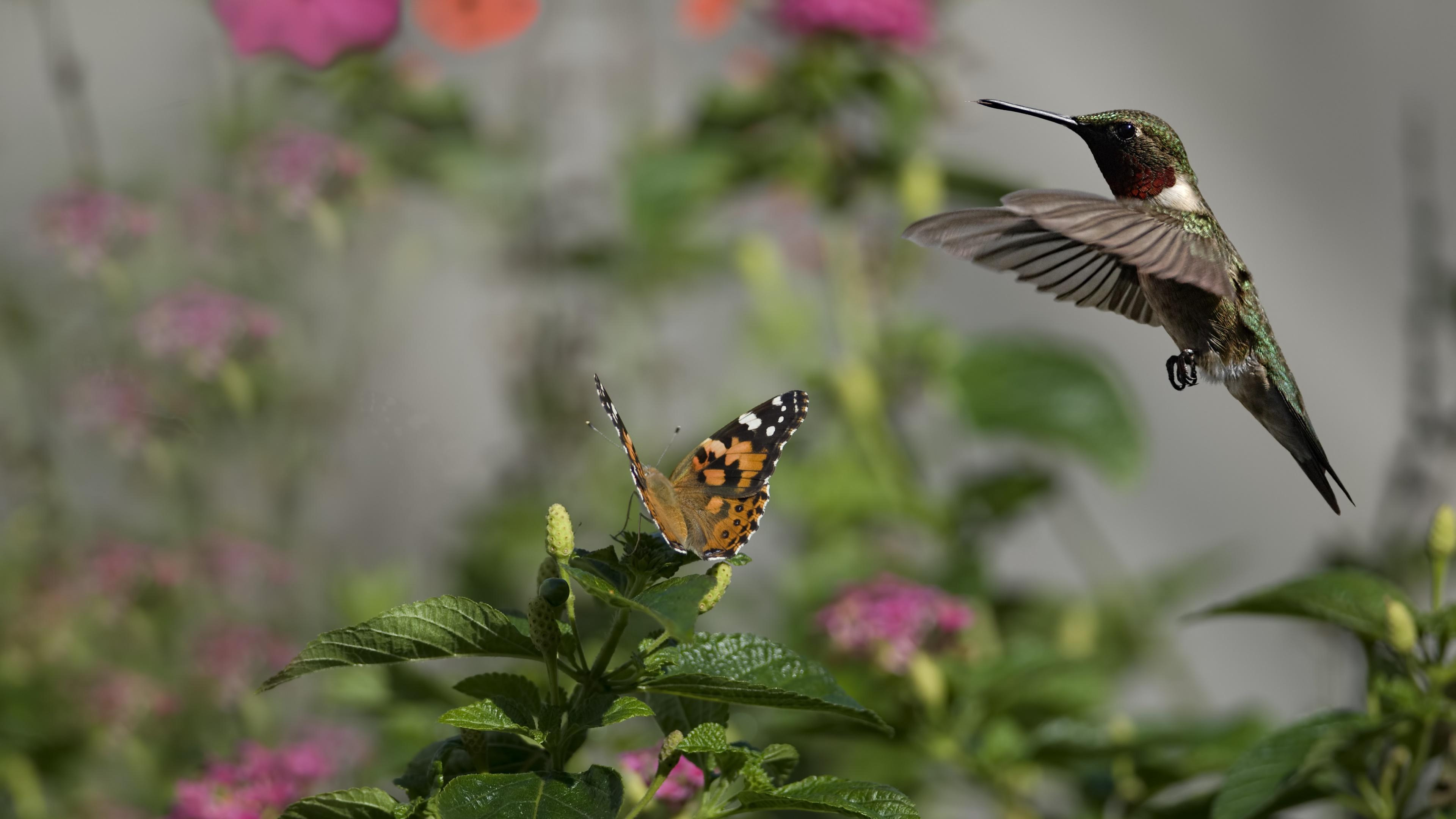 Hummingbird and butterfly wallpaper
