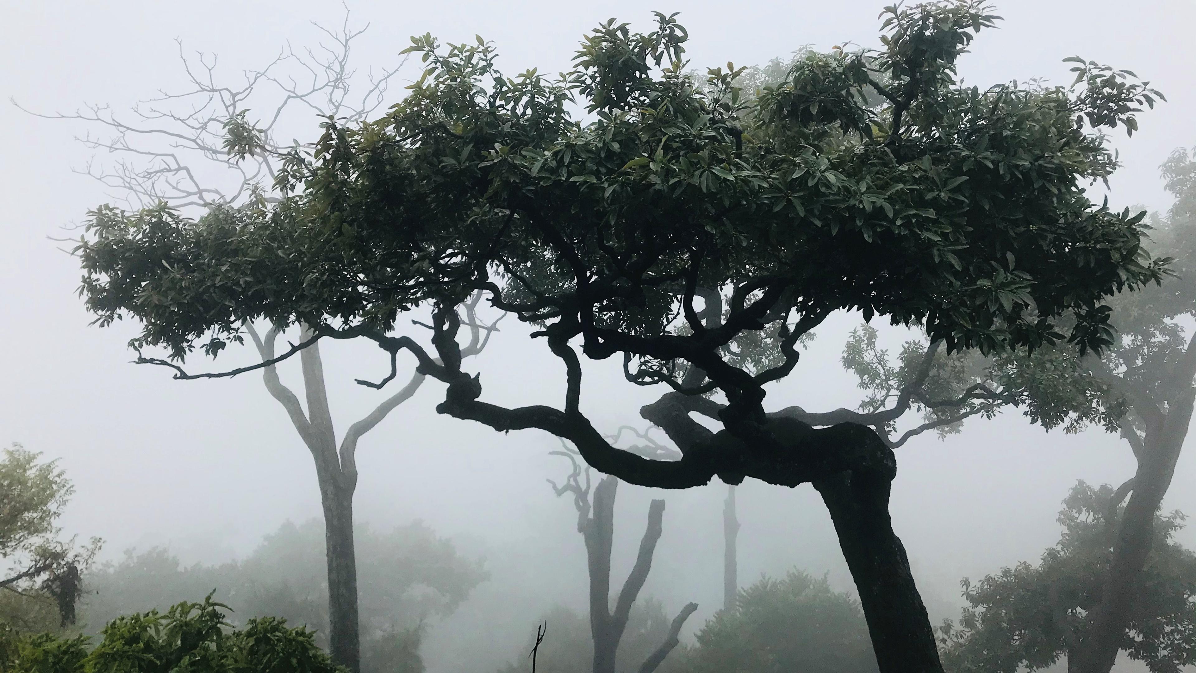 Trees in haze wallpaper