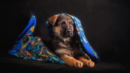German Shepherd puppy wallpaper