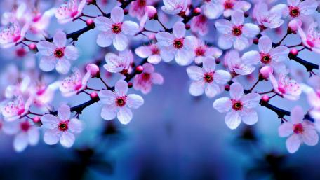 Pink cherry blossom wallpaper