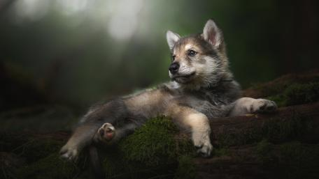Tamaskan Dog Puupy wallpaper