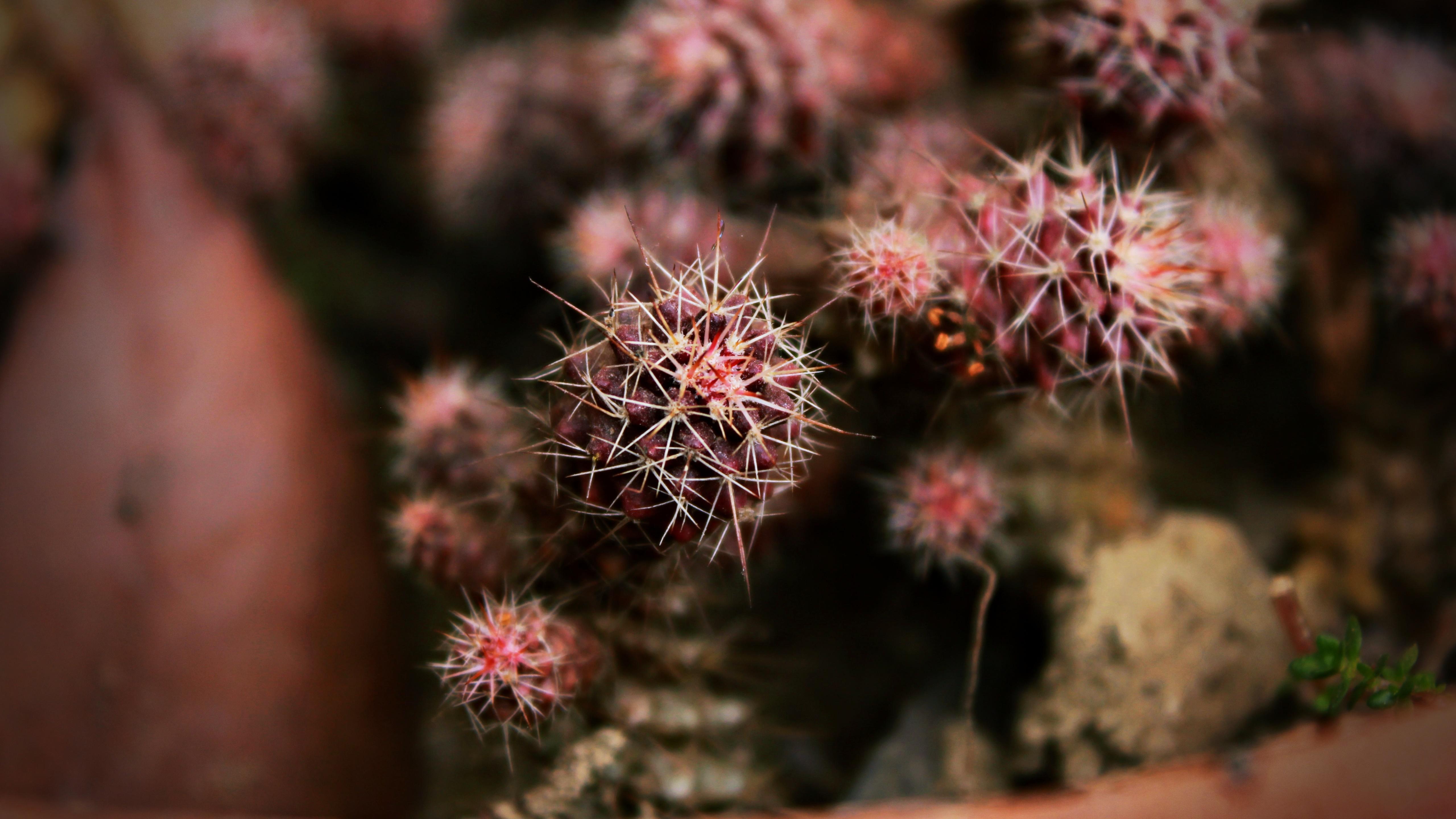 Golden barrel cactus wallpaper