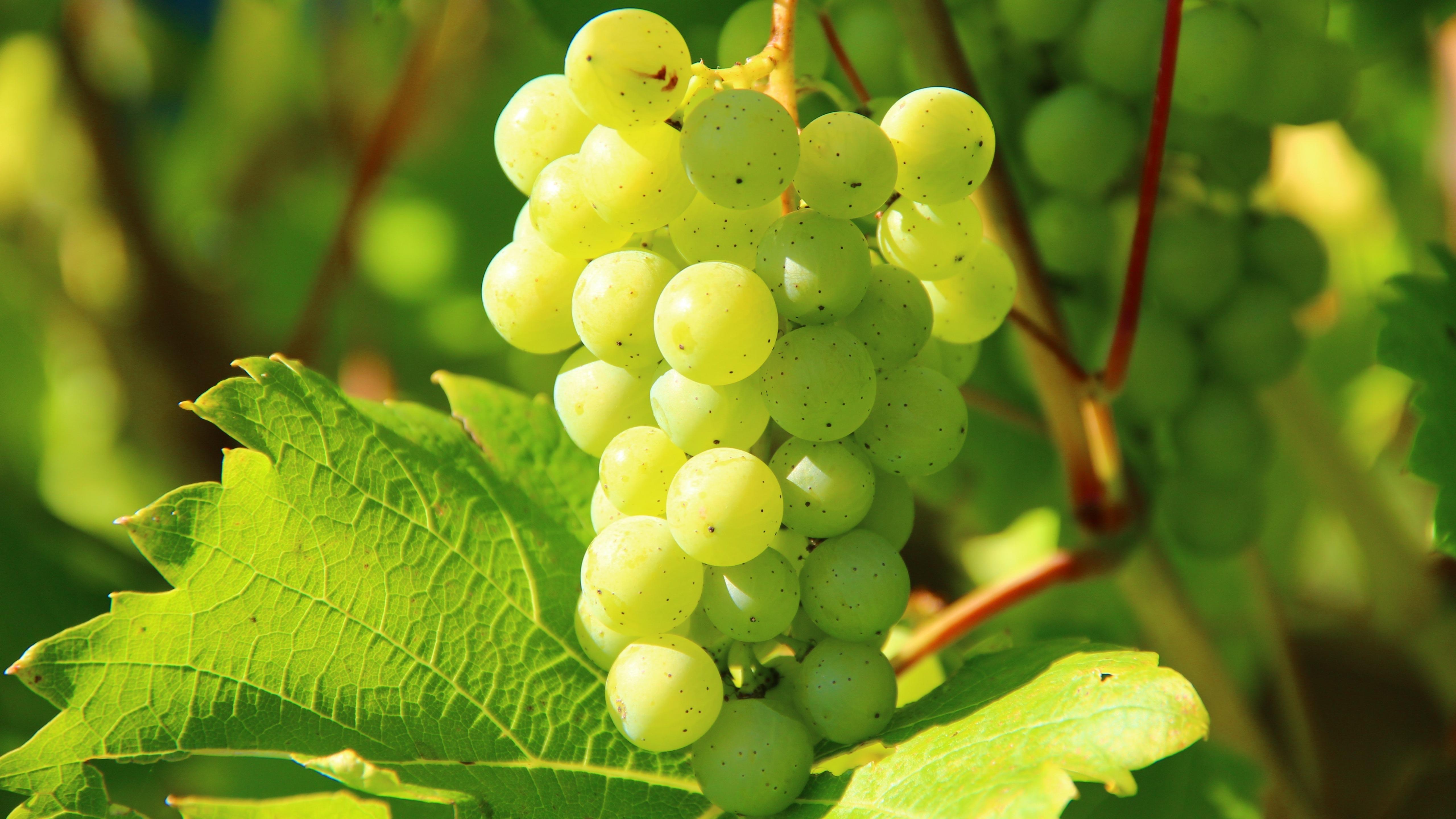 White wine grape wallpaper
