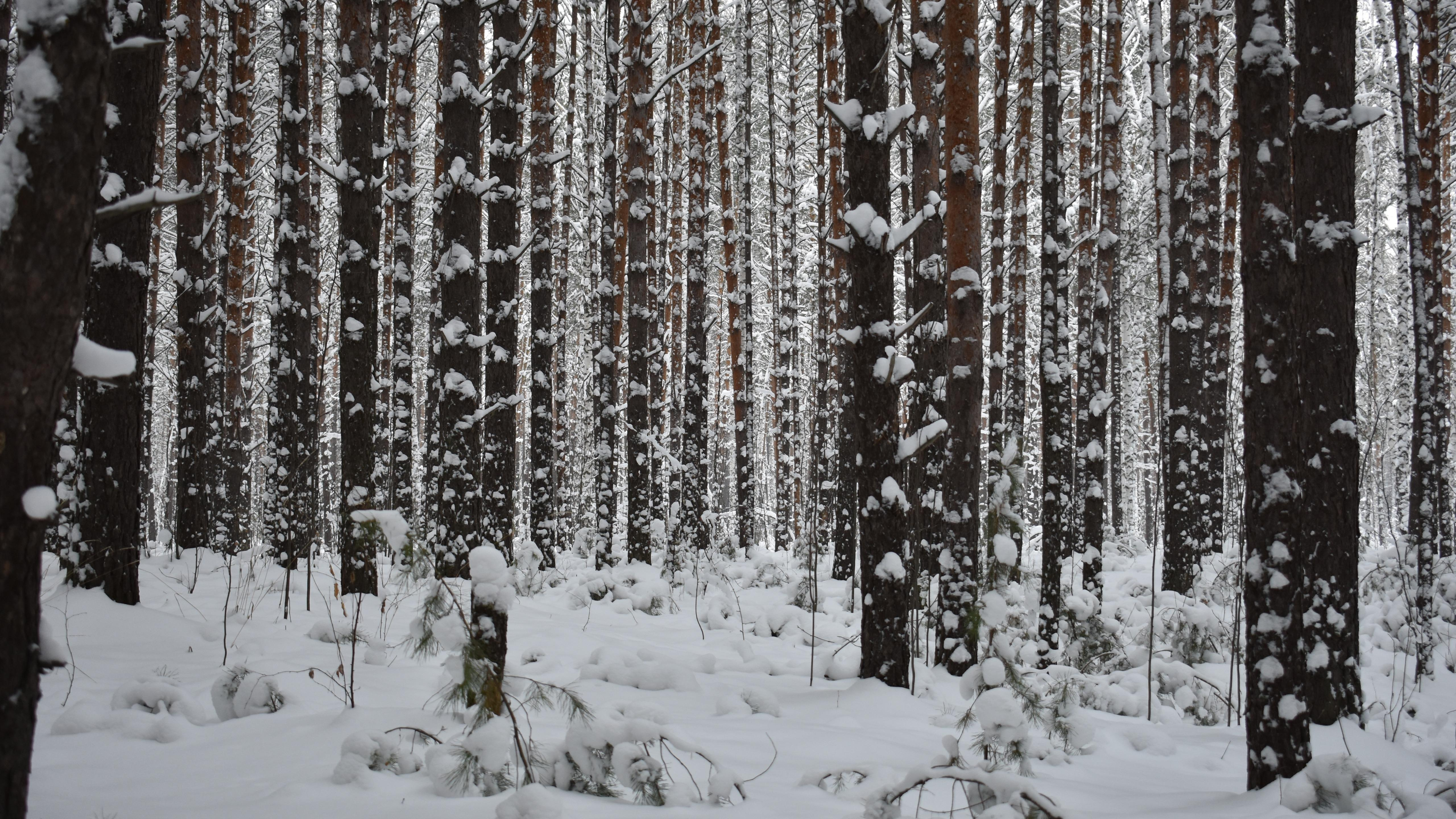 Snowy forest in Novosibirsk (Russia) wallpaper