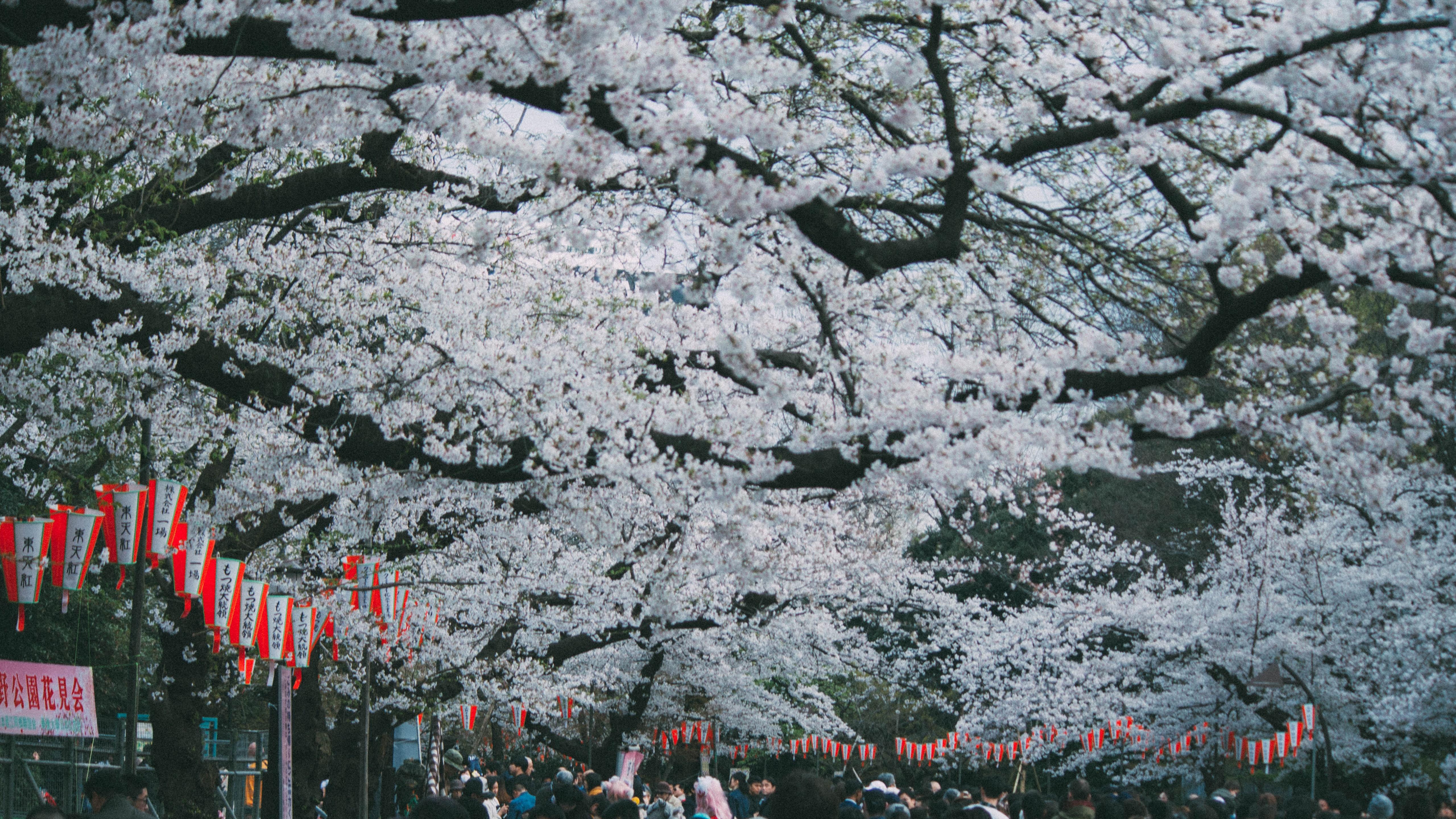 Sakura wallpaper