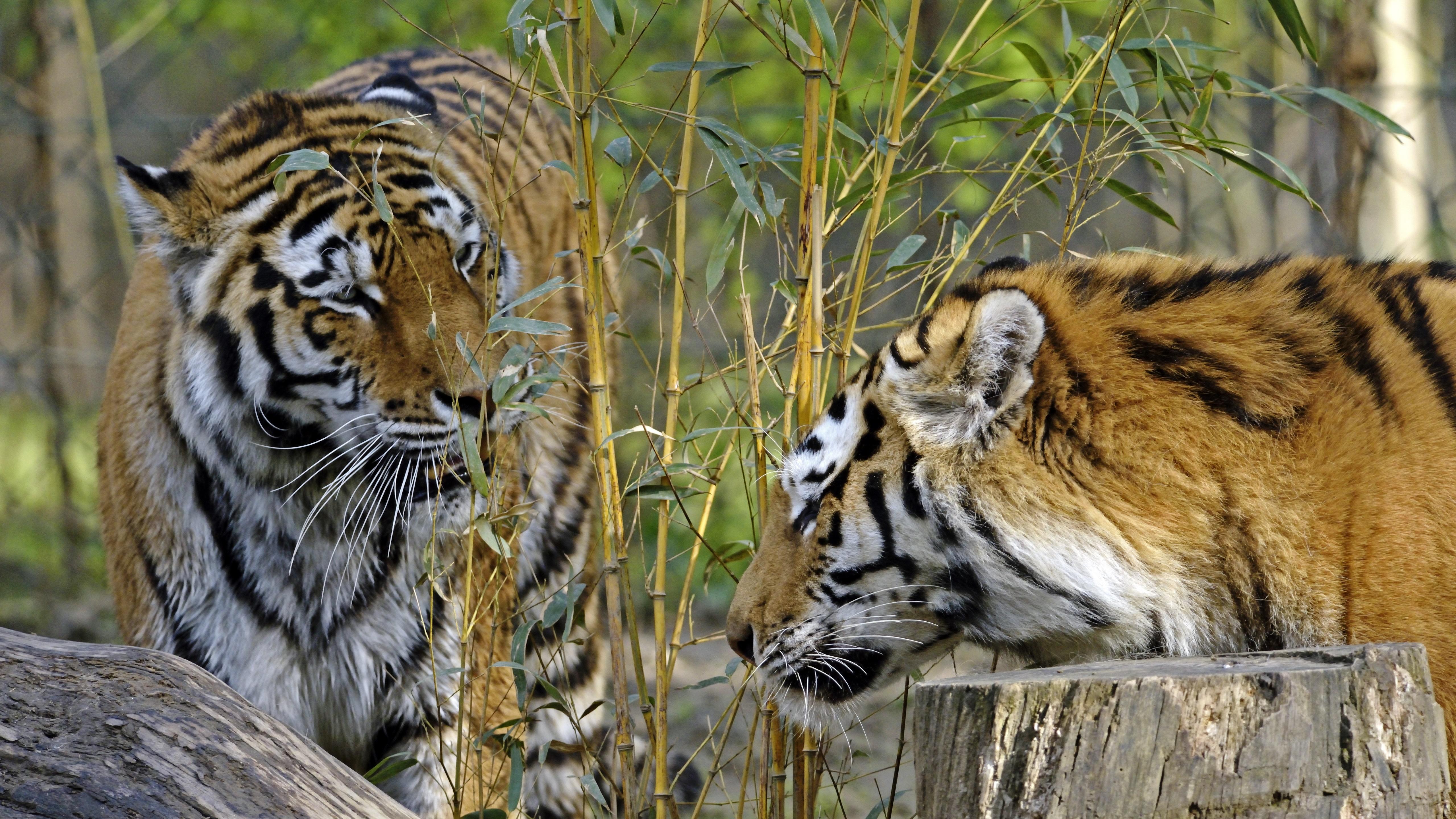 Siberian tigers wallpaper