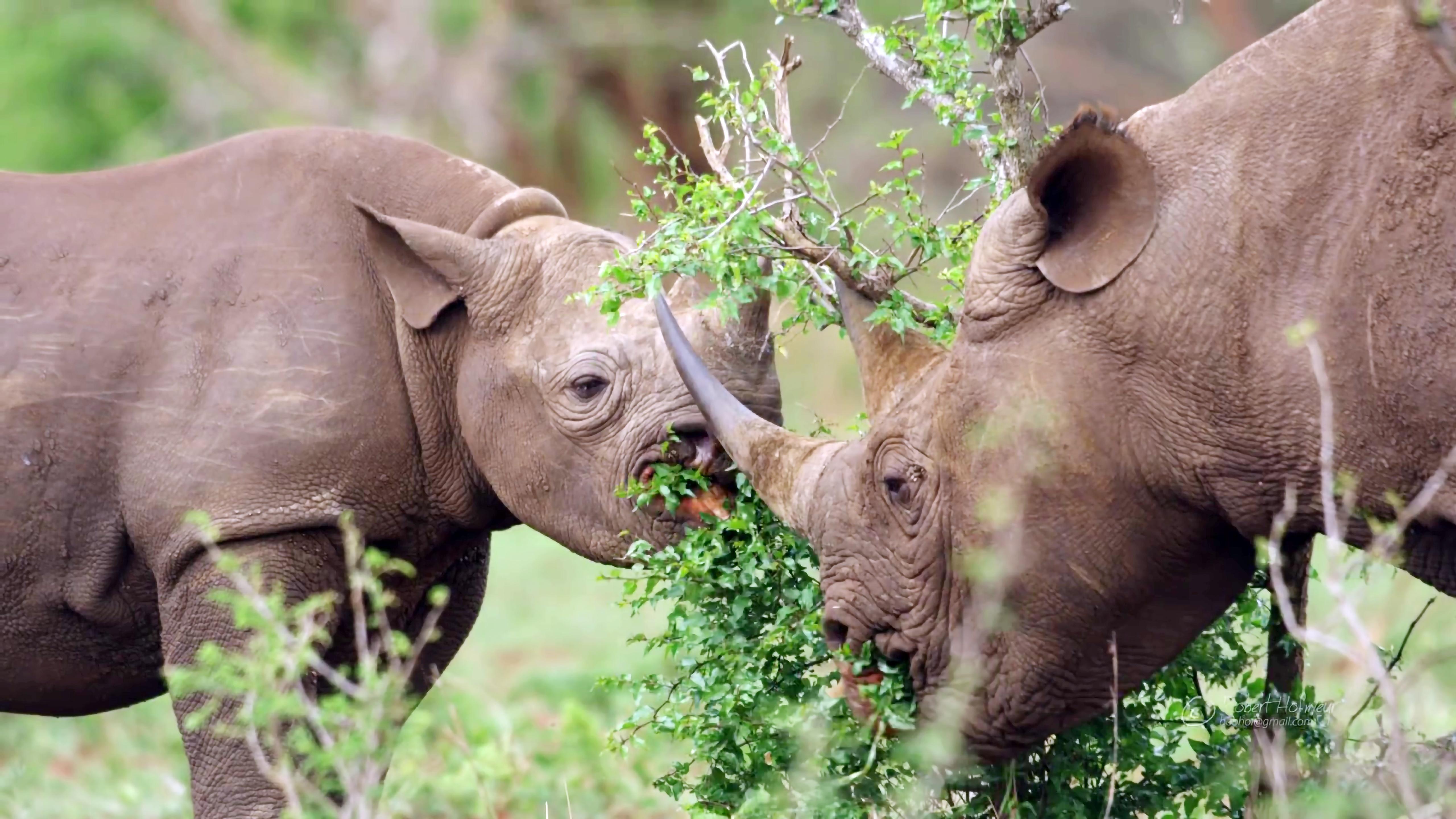 Rhinoceroses wallpaper