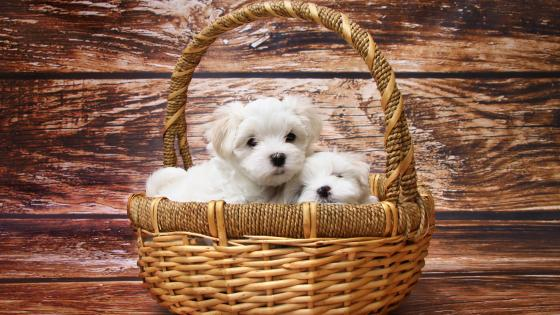 Puppies in the basket wallpaper