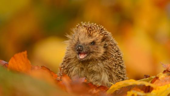 Hedgehog in the leaf litter wallpaper