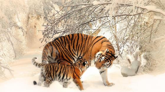 Tigers in the snow wallpaper