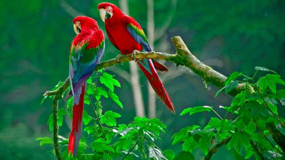 Colorful parrot birds on the tree  wallpaper