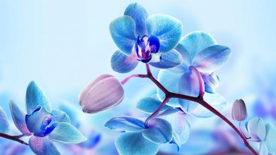 Blue orchid wallpaper