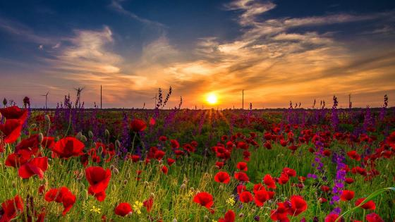 Summer poppy field at dawn wallpaper