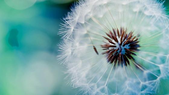 Dandelion seeds - Macro photography wallpaper