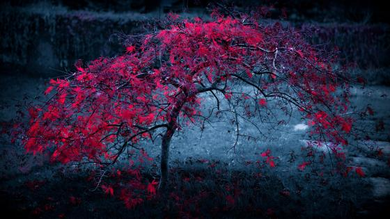 Red tree in the darkness wallpaper