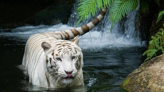 Beautiful white tiger wallpaper