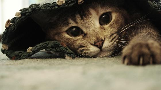 Under rug kitten wallpaper