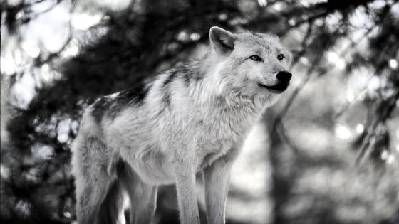 Wolf monochrome photography wallpaper