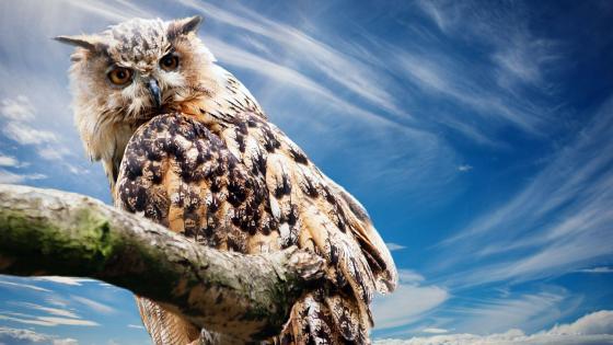 Big owl wallpaper