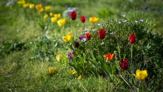 Tulips in the grass wallpaper