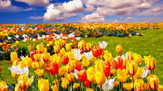 Colorful tulip field wallpaper