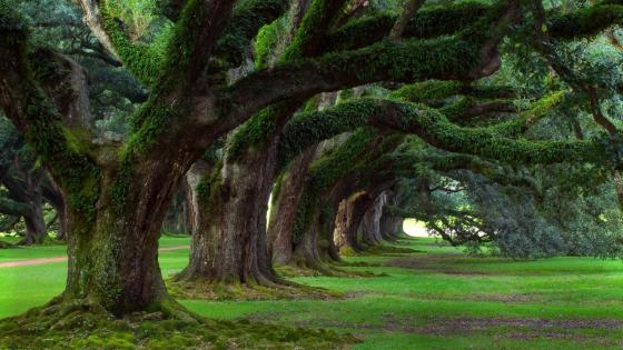 Oak alley in Louisiana wallpaper
